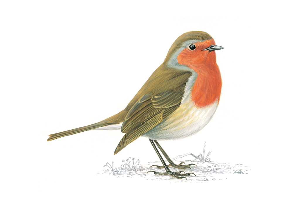 Countdown to Christmas: 17 - Notes on nature - Wildlife ...