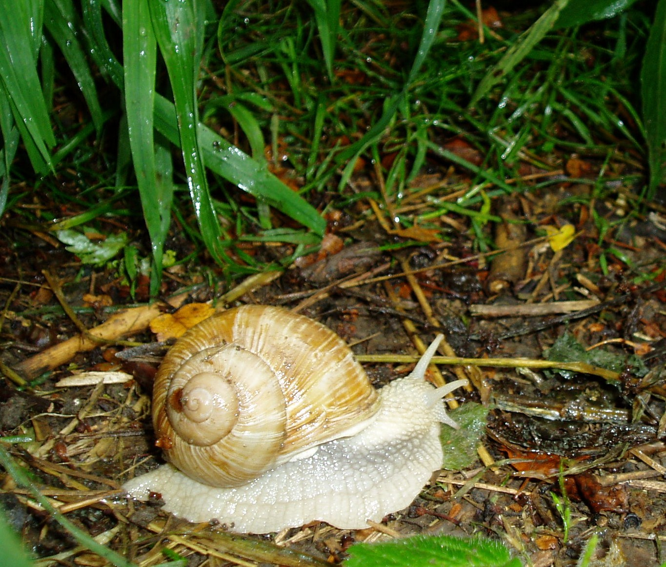 Update on the Roman Snail Trail - All creatures.... - Wildlife - The ...