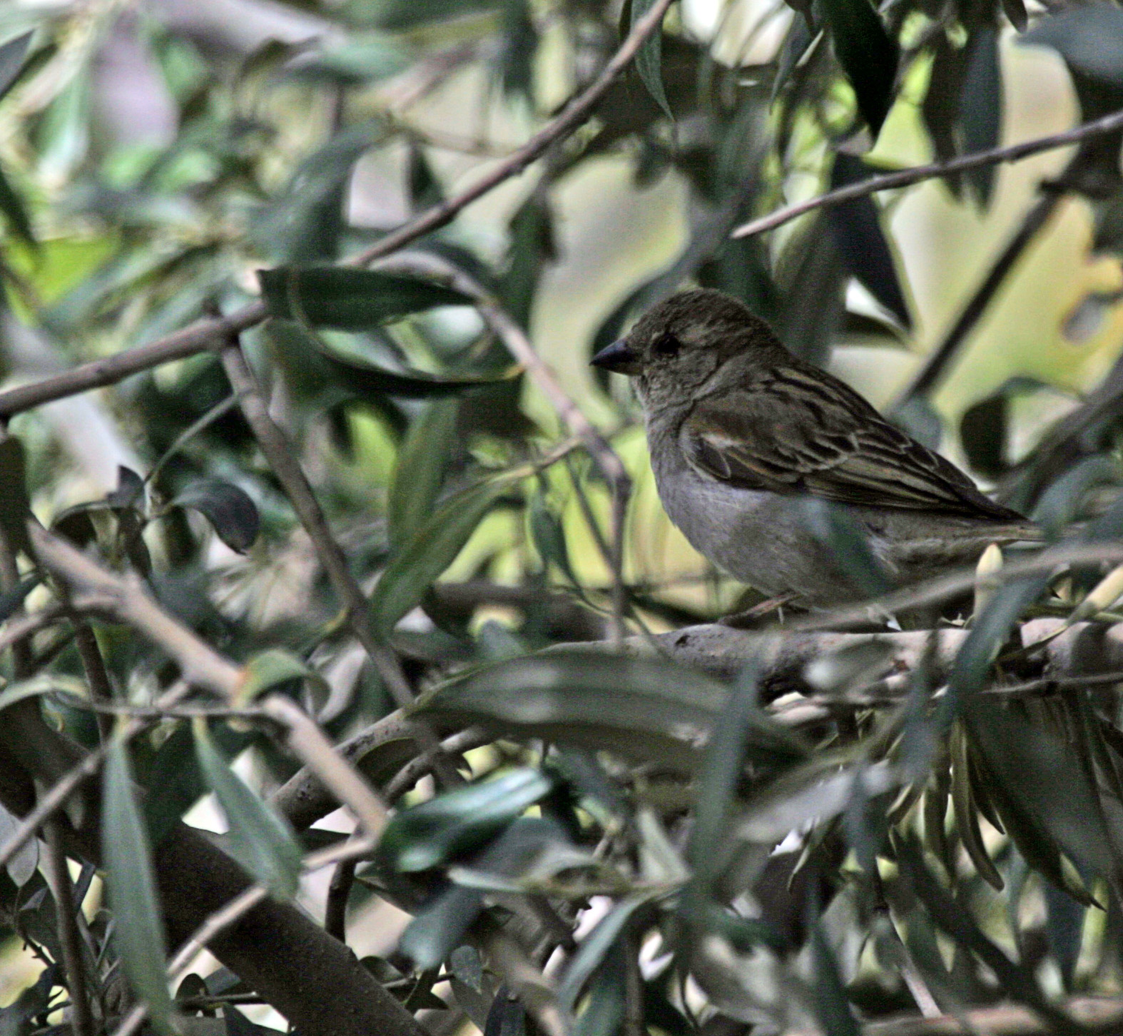 Sparrows Wot I\'ve Seen! - All creatures.... - Wildlife - The RSPB ...
