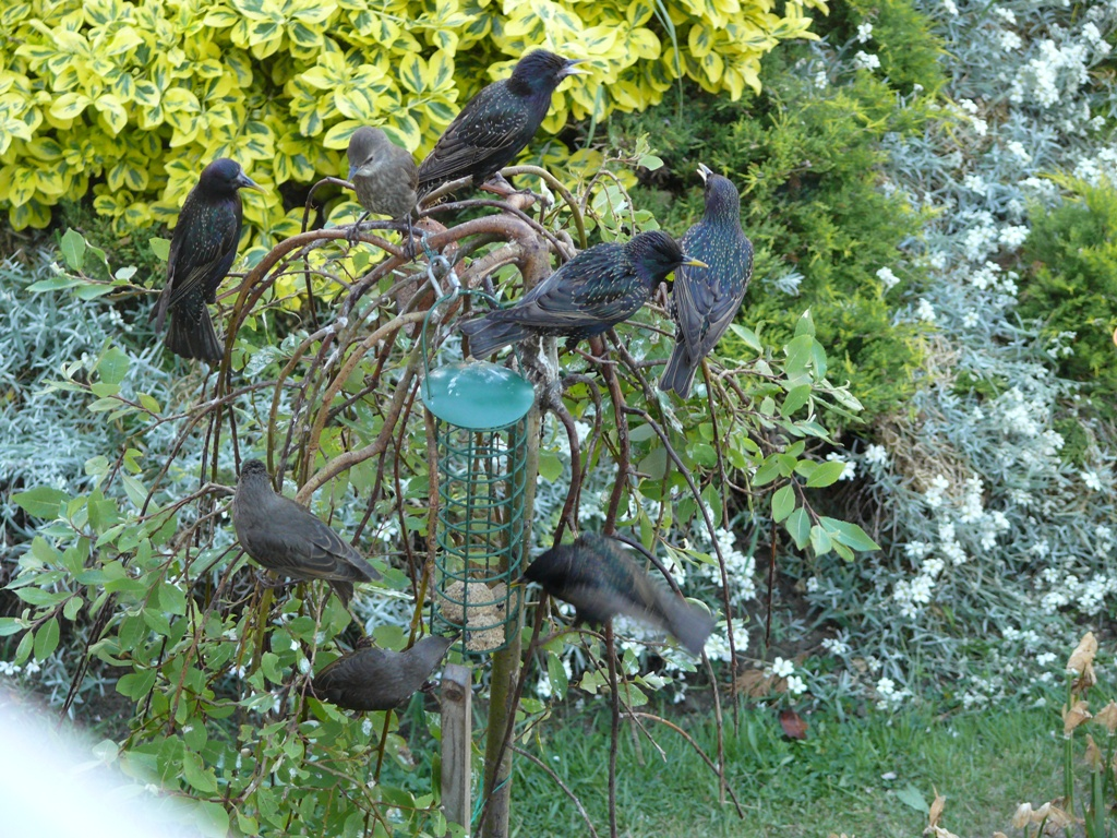 Hark The Starlings And Their Fledglings Are Out In Big