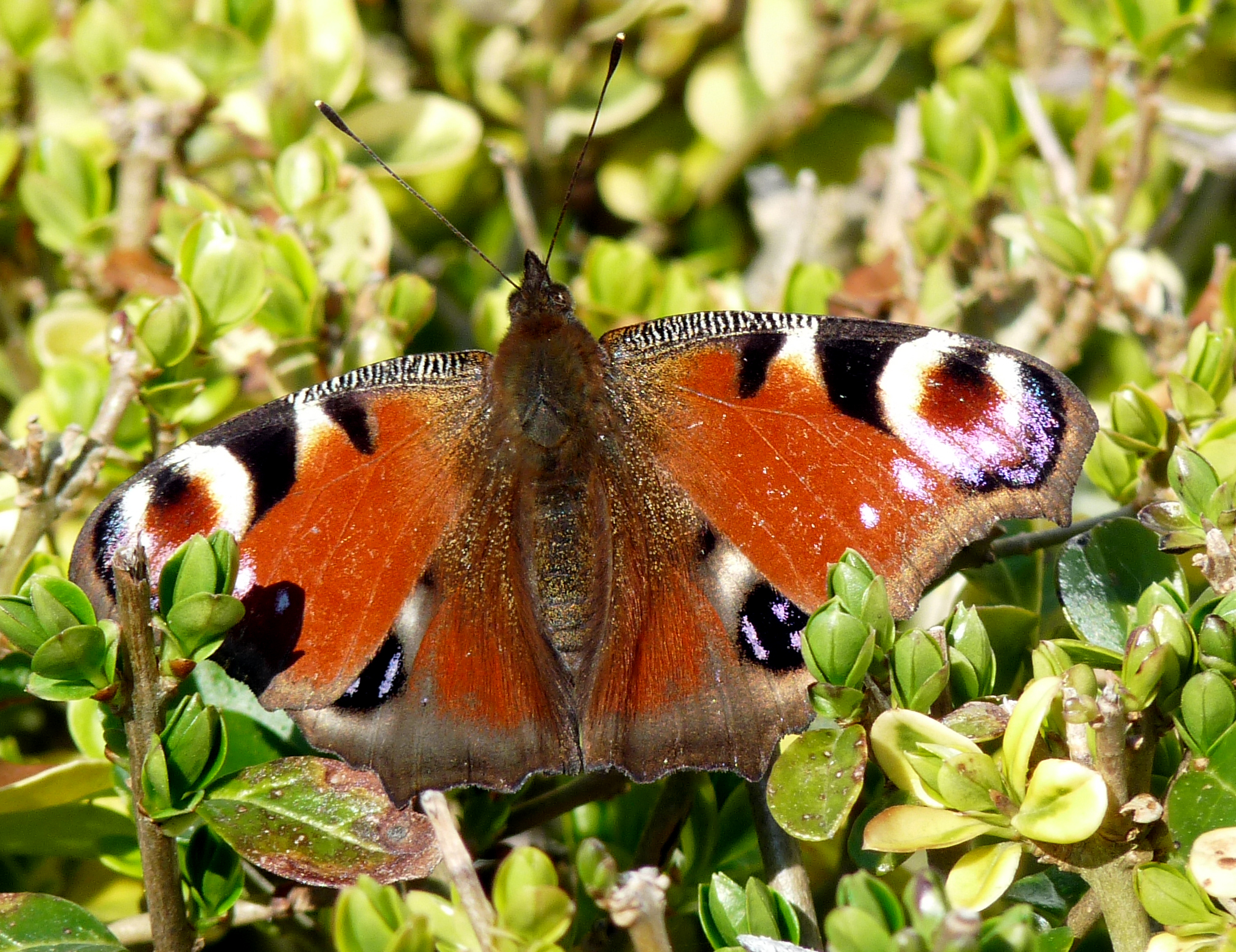 A symbol of hope poetry corner chat the rspb community a lovely poem pip this was a butterfly in my garden in september no idea what it is perhaps you can help biocorpaavc Images