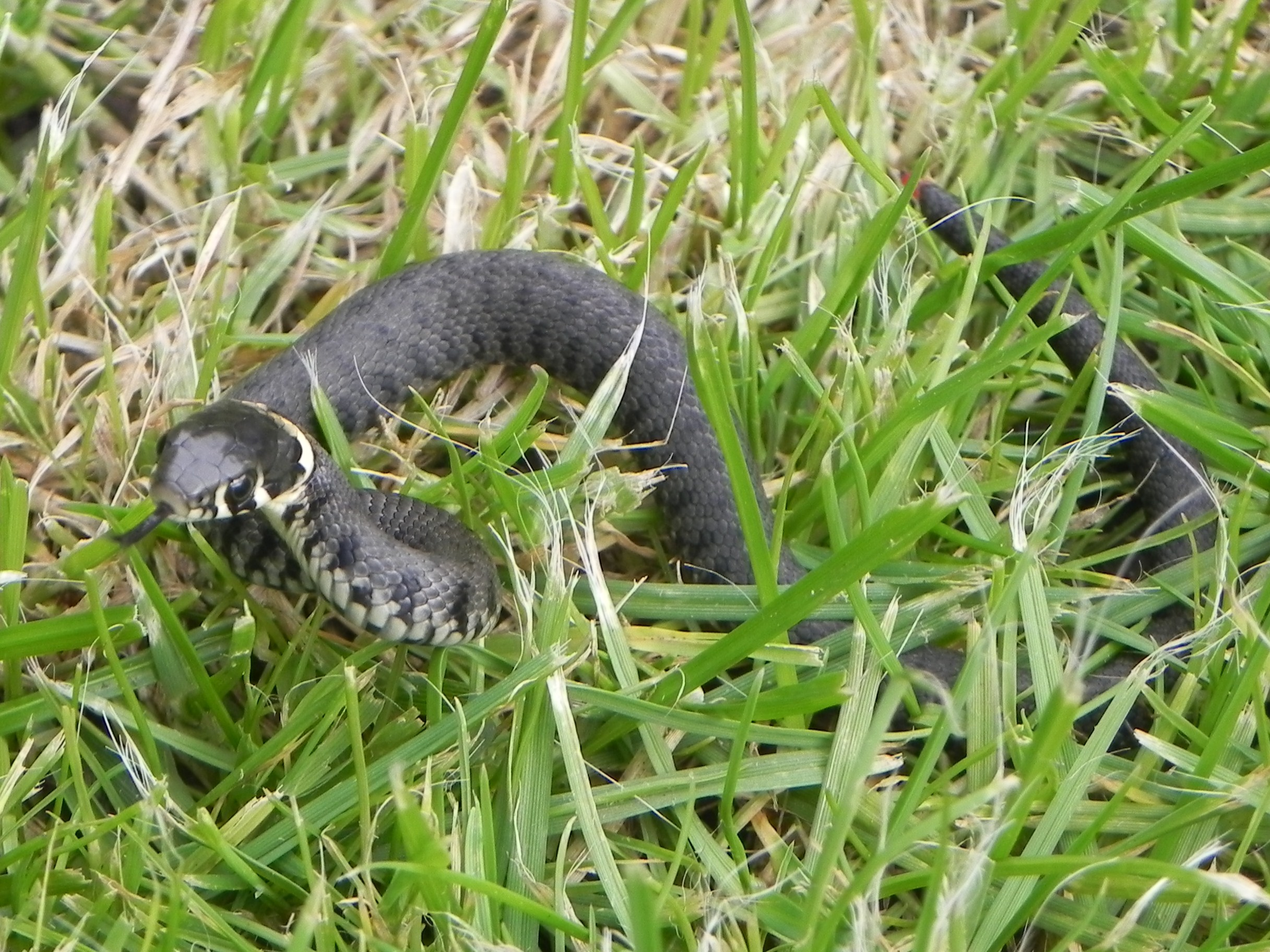 Grass Snakes Wildlife Questions Wildlife The Rspb Community