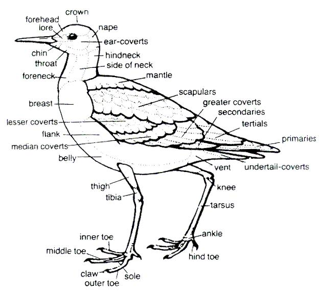 Similiar Duck Reproductive Diagram Keywords