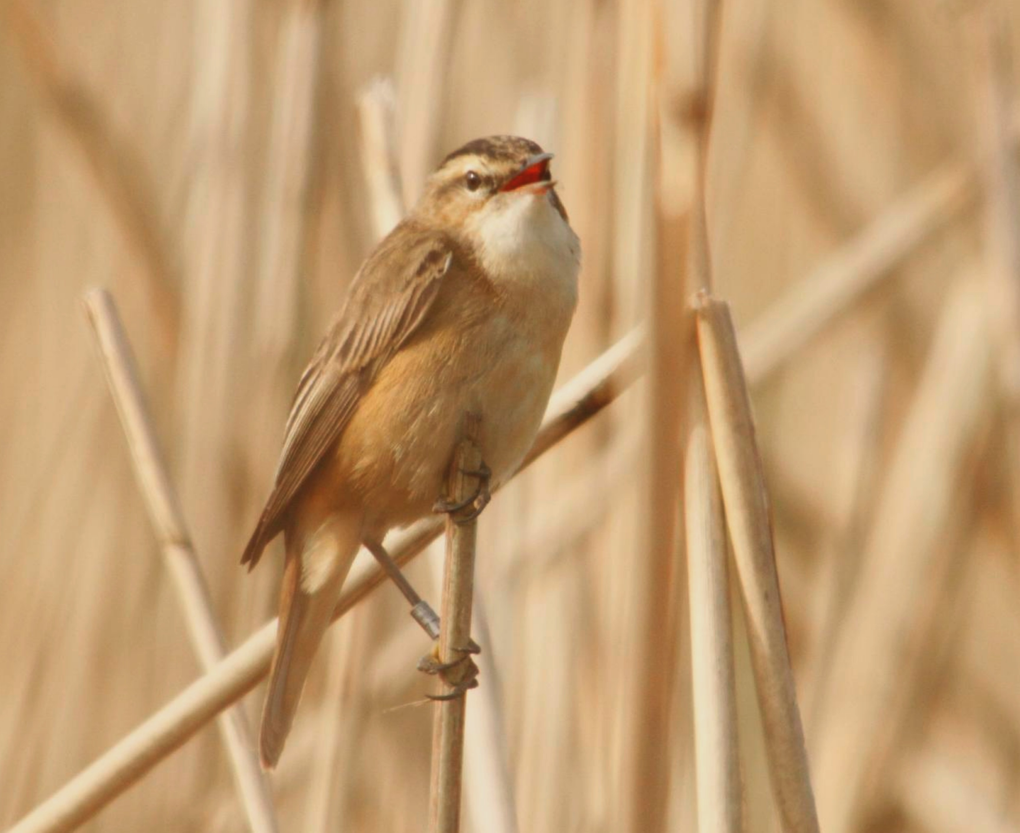 Reed Warbler Identify This Wildlife The Rspb Community
