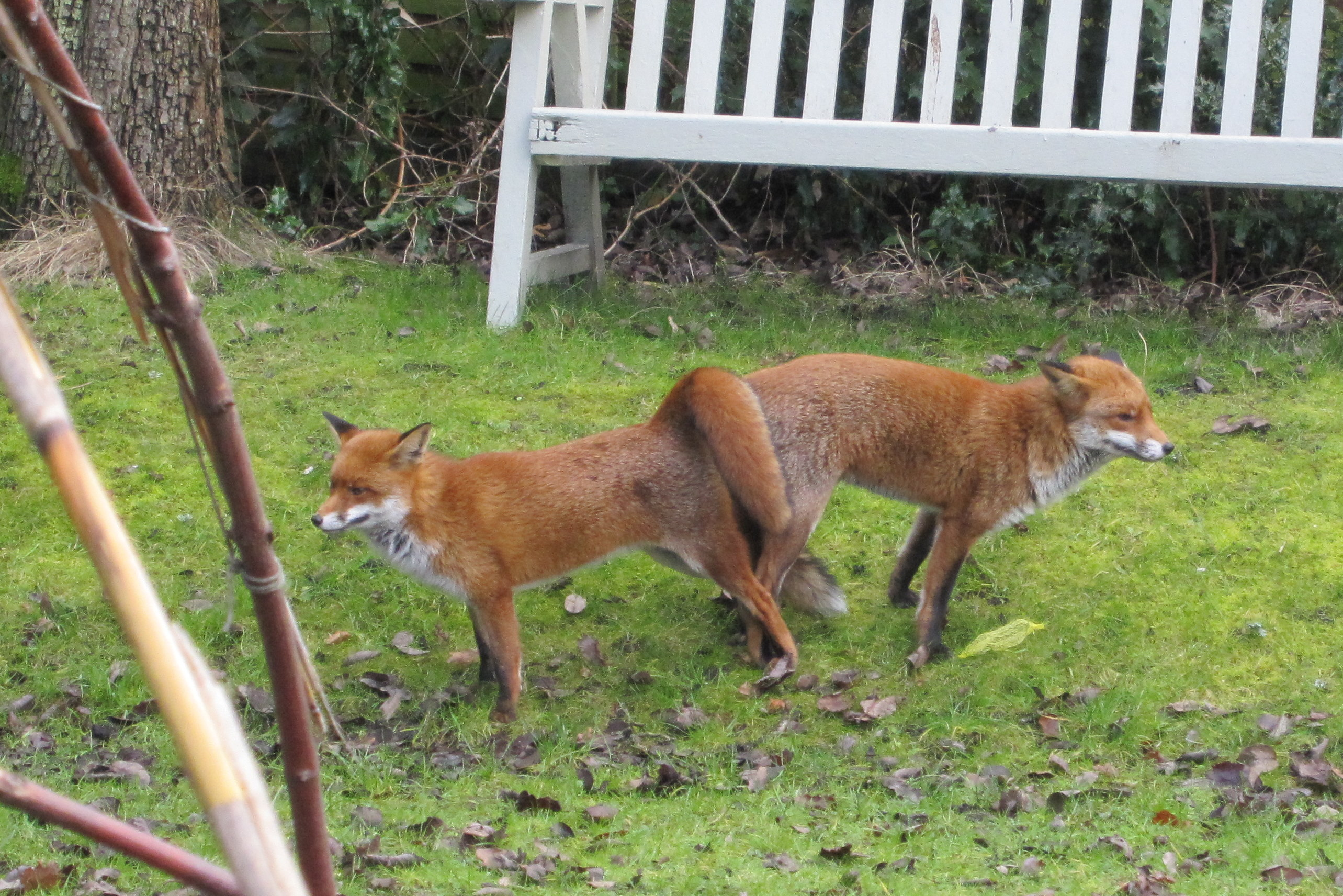 Foxes mating quite openly... - All creatures ...