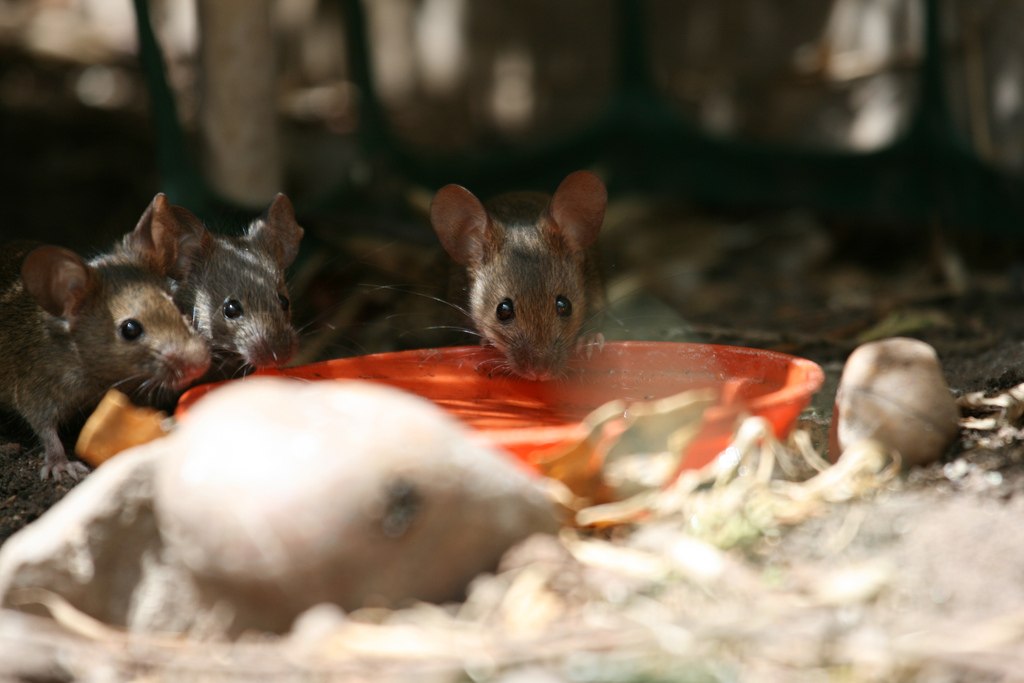 What is community in of mice