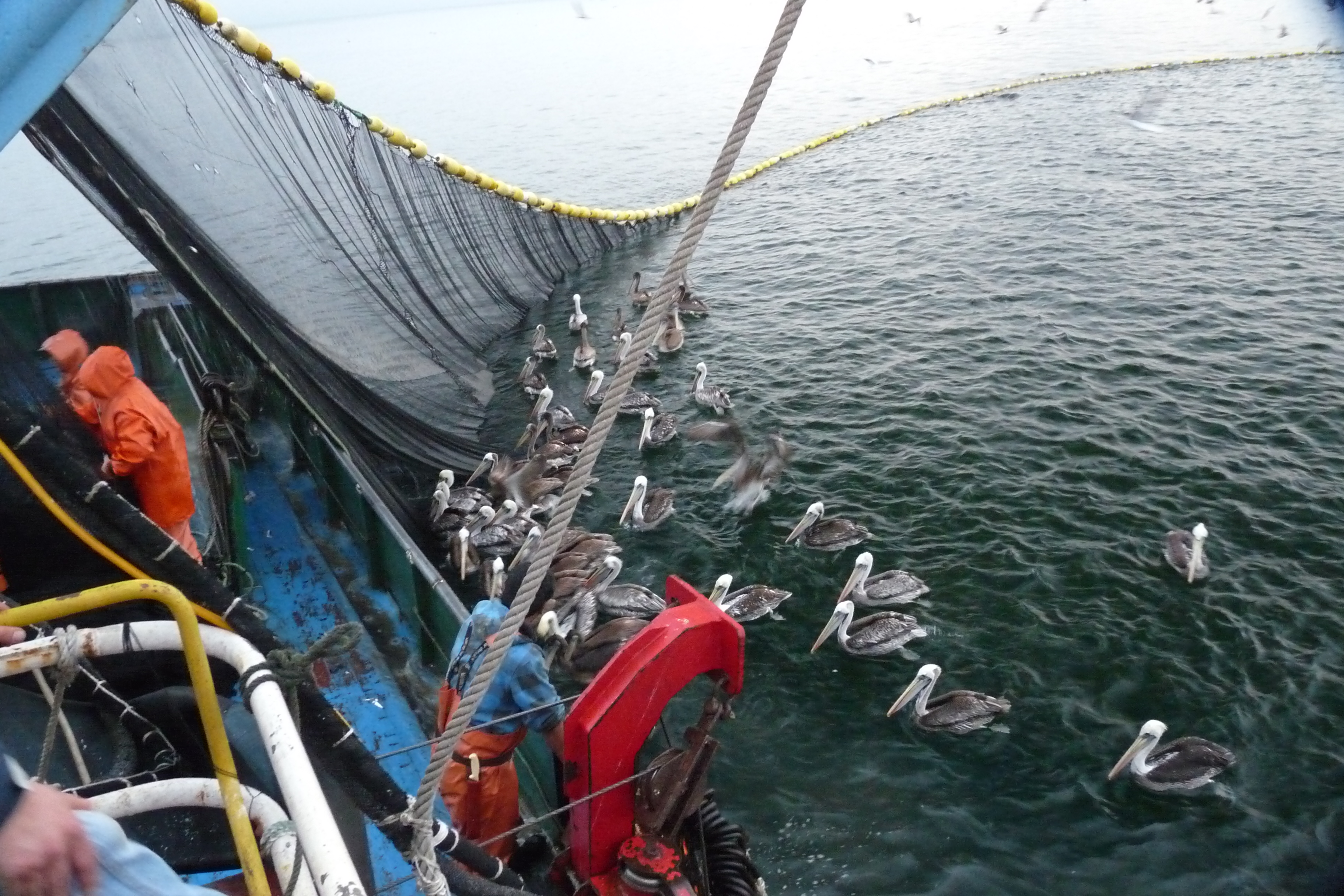 A new challenge for the atf in chile albatross task for Purse seine fishing