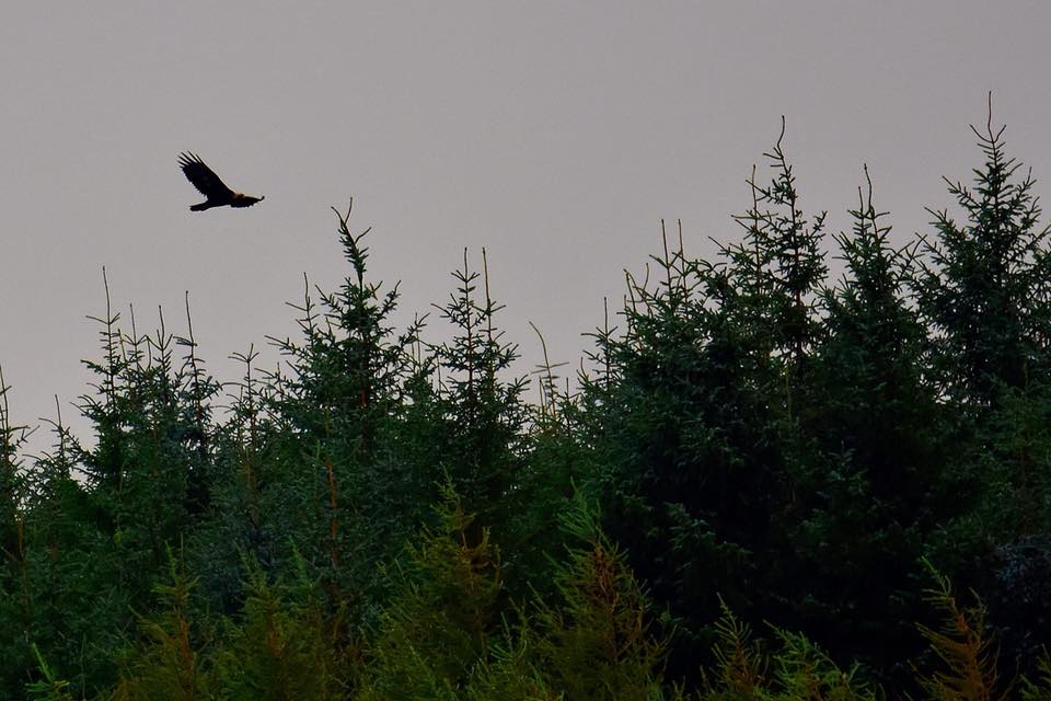 Hunting eaglets and a surprise visitor at West Ardhu - Mull