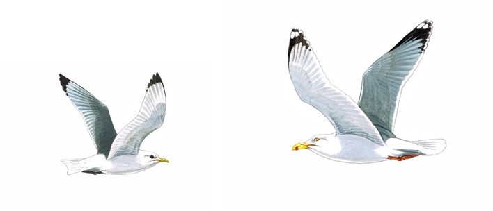 A tale of two seabirds: kittiwakes and herring gulls in