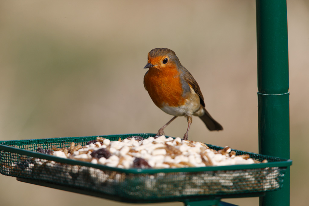The European robin Erithacus rubecula known simply as the robin or robin redbreast in the British Isles is a small insectivorous passerine bird specifically a