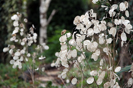Honesty Is The Best Policy Gardening For Wildlife Homes For Wildlife The Rspb Community