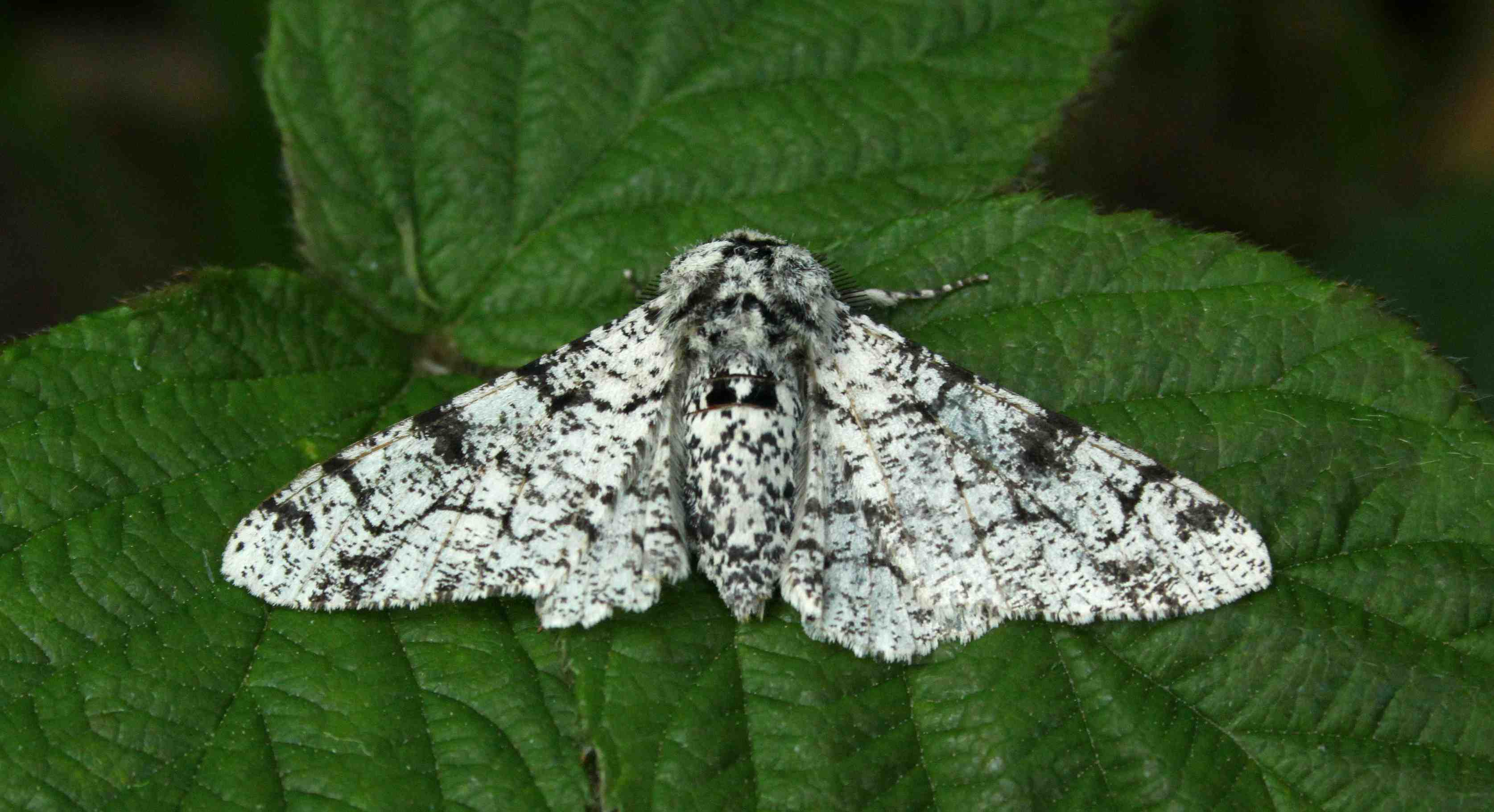 the peppered moth Find great deals on ebay for peppered moth shop with confidence.
