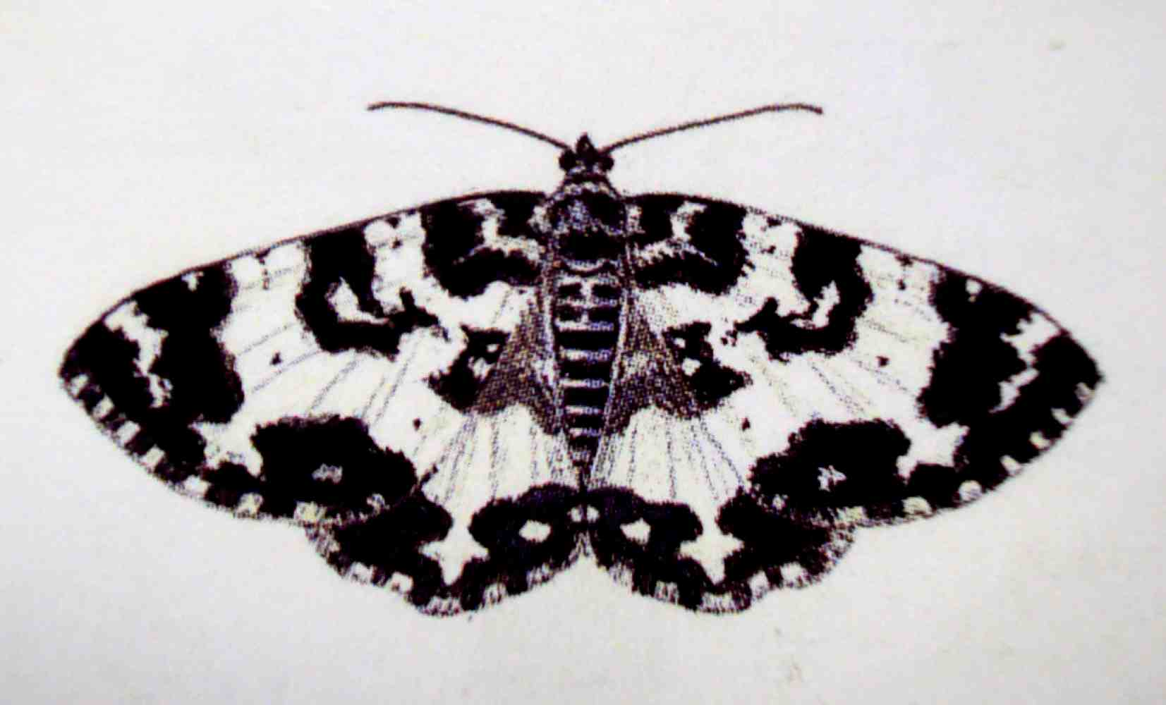 Moth drawing - photo#23