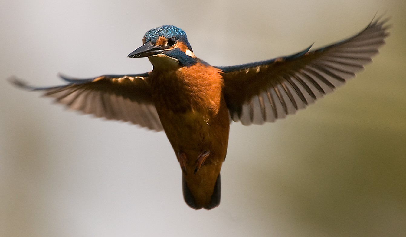 Kingfisher Flying Fabulous kingfisher picture by