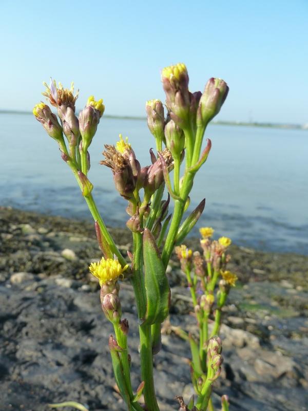 Real Seaside Plants - Rainham Marshes - Rainham Marshes ...