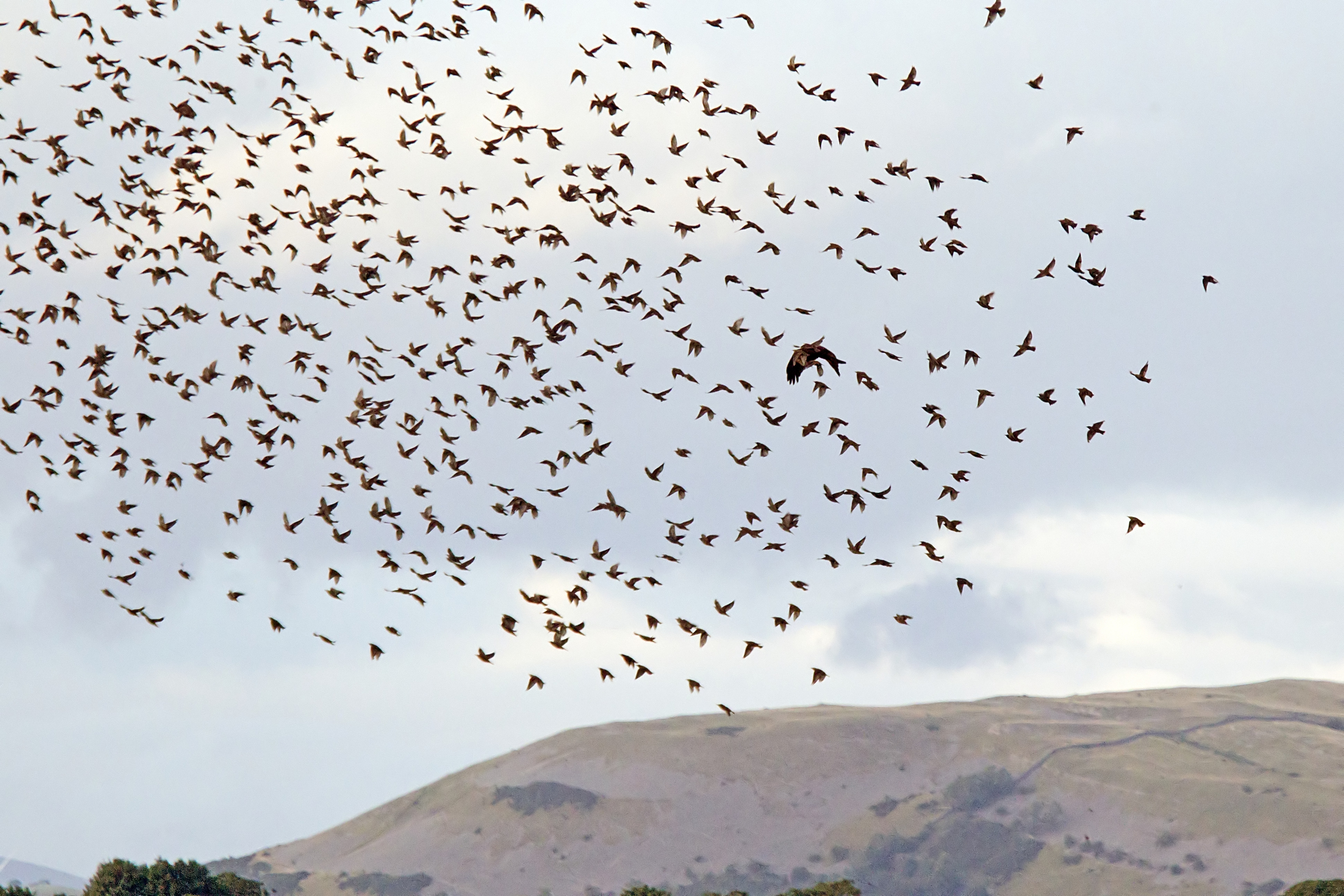 The Talons of Success, Evolution of the Harriers - Leighton Moss - Leighton  Moss - The RSPB Community