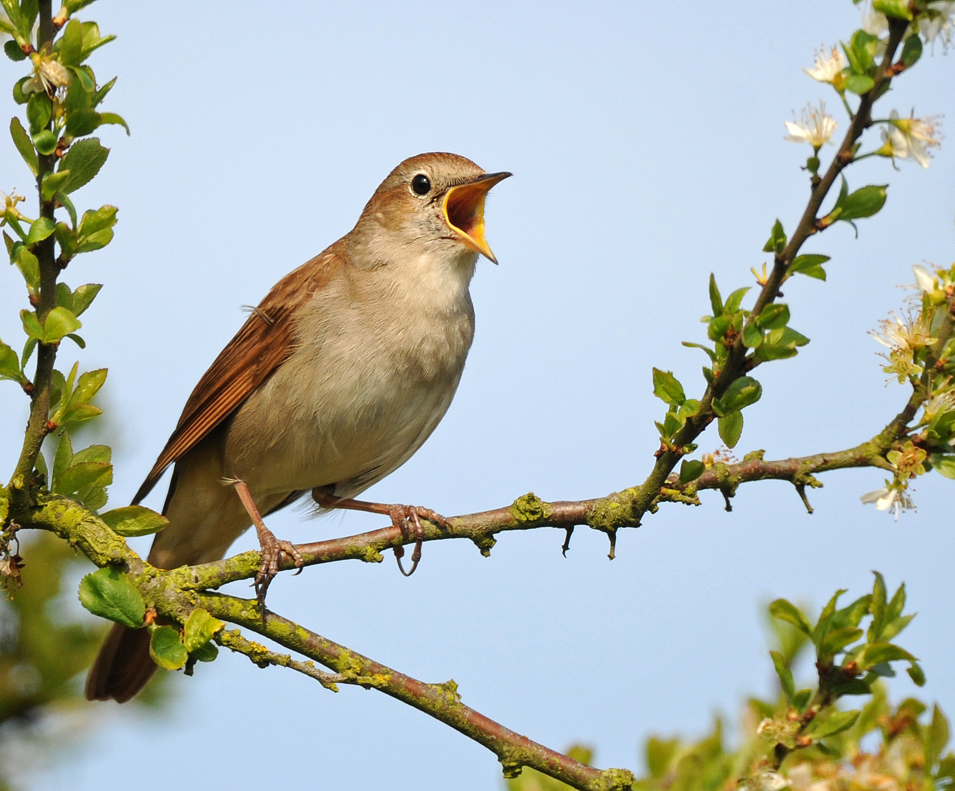 species of the week nightingale minsmere minsmere