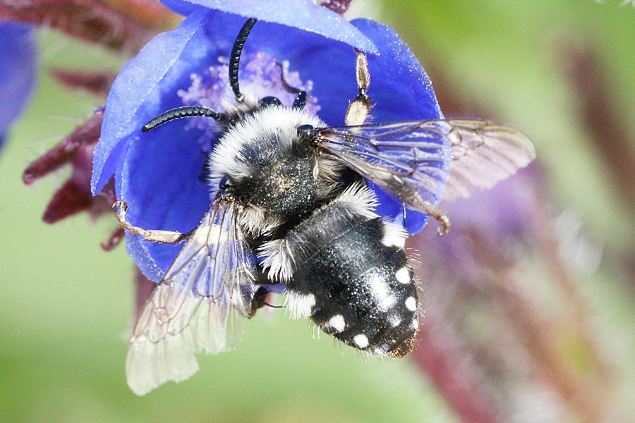 A Couple Of These Stunning Black White Bees Were Spotted In Our Wildlife Garden This Week Any Help Identifying Them Would Be Appreciated