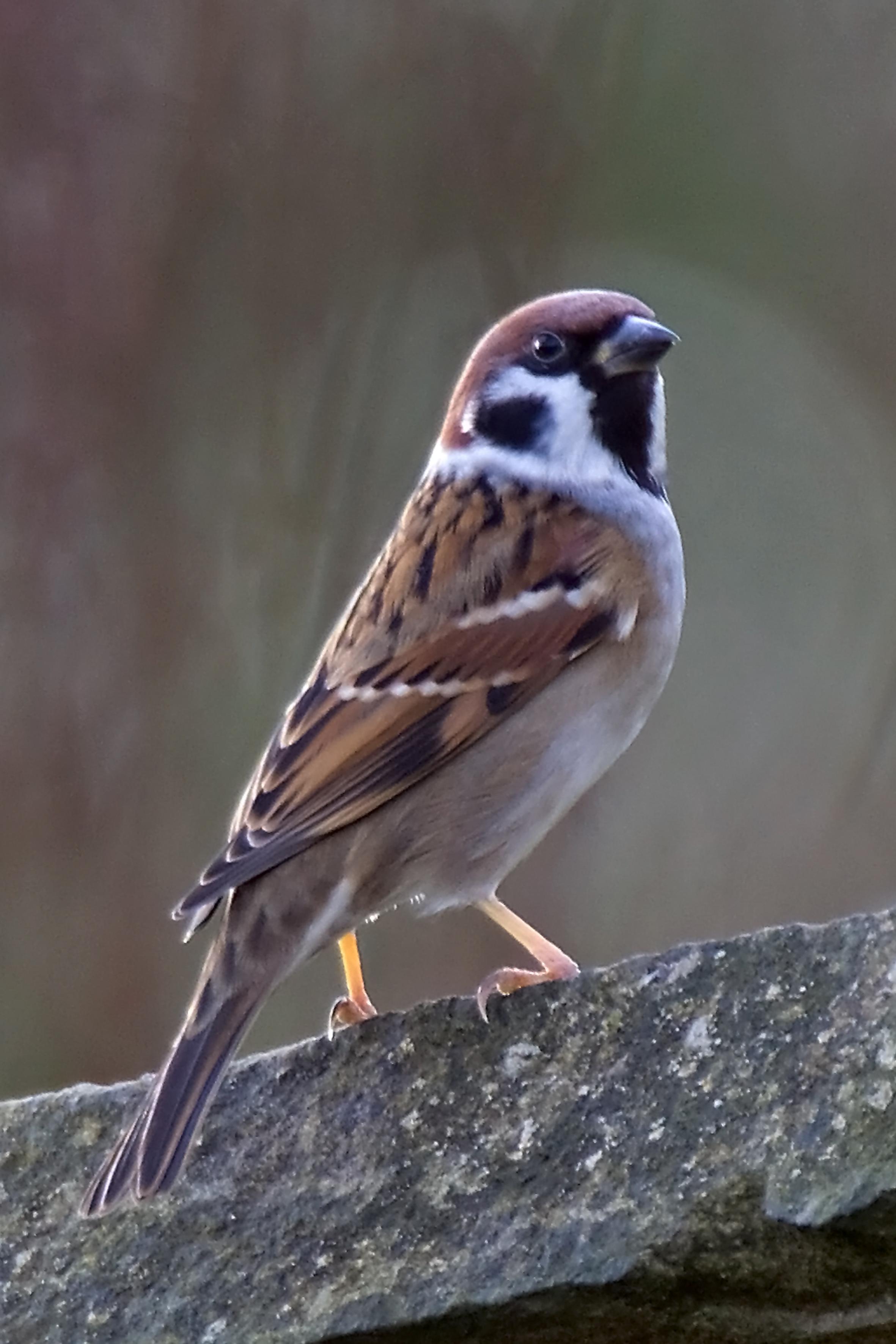 Raising Of Sparrow Pictures : happy sparrow bird sparrow sparrow mus pictures birds bird photos ...