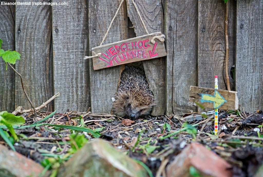 Remember Remember To Check Your Bonfire For Hedgehogs