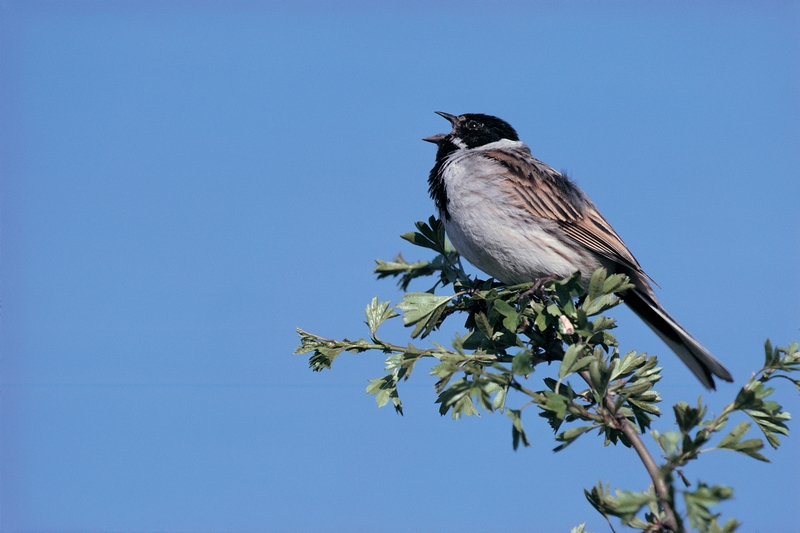 Reed bunting. Image by Mick Richards (rspb-images.com)