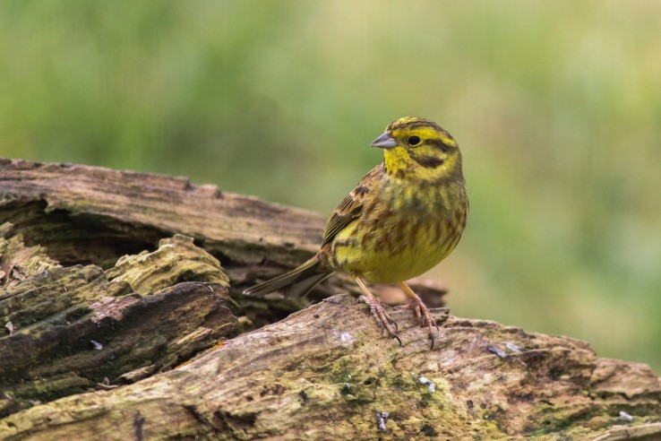 Yellowhammer. Image by Gergana Daskalova.