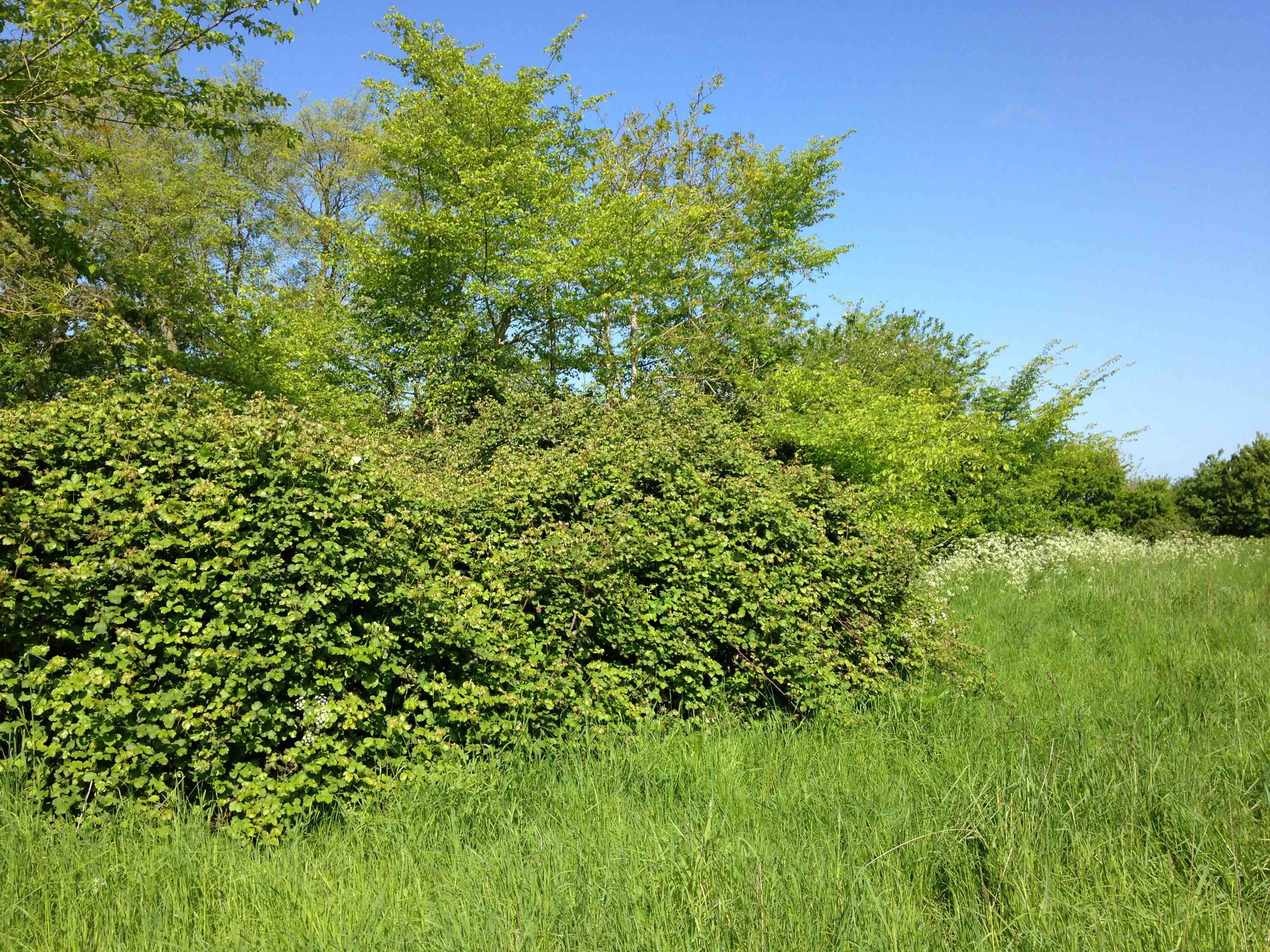 planting areas of seedrich plants close to good nesting habitat such as this can increase the survival prospects of young turtle doves