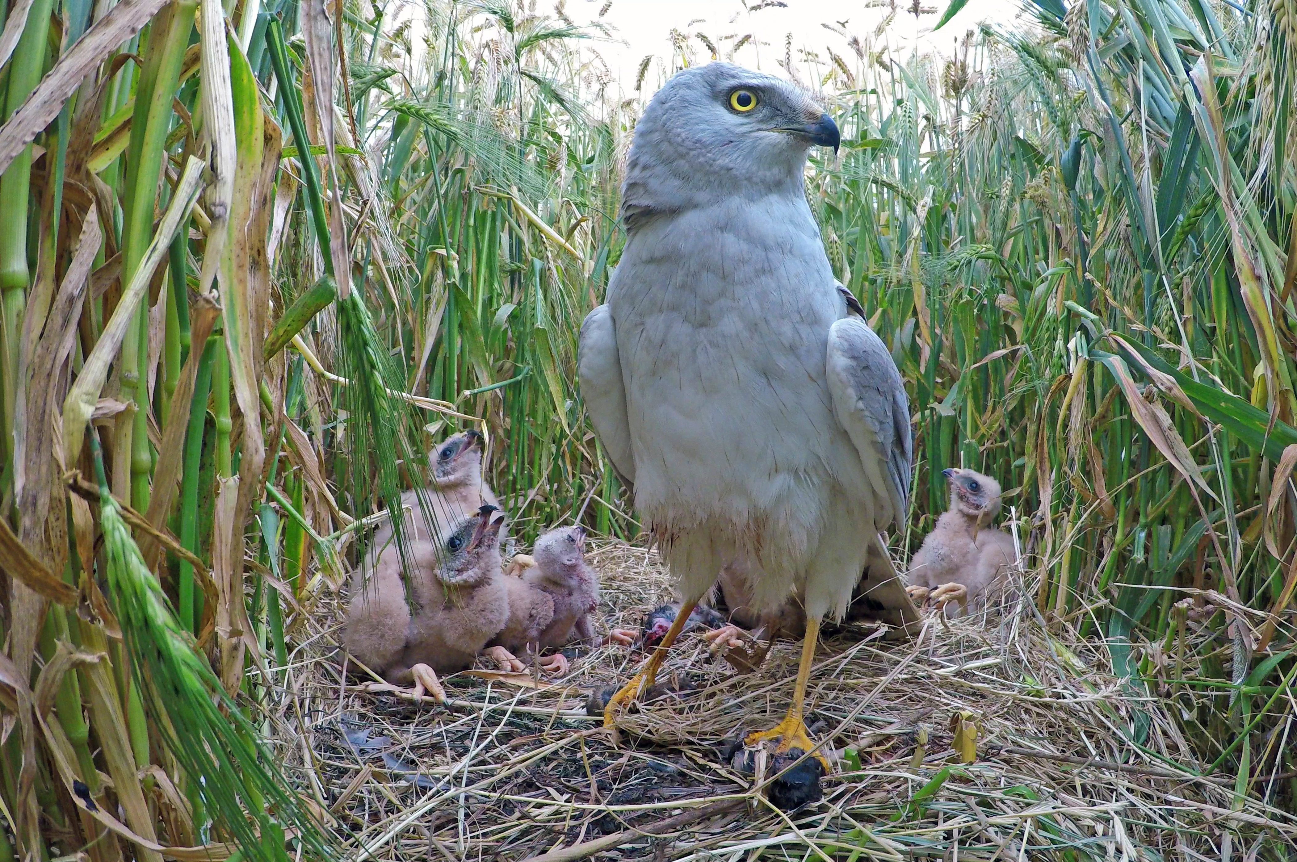 Pallid Harriers Breed In Netherlands For The First Time