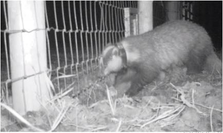 The lives of the Minsmere Badgers: Part II - Saving Species