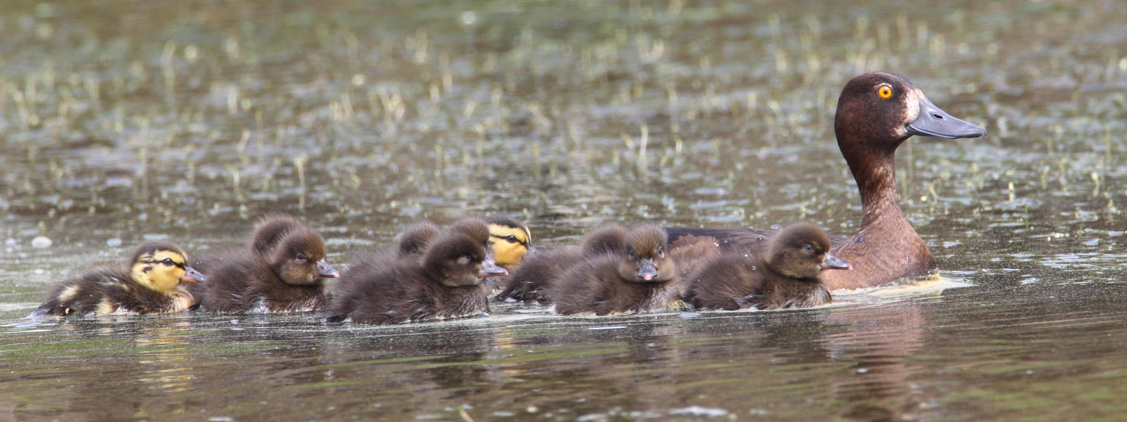 duckling days at wallasea island wallasea island wild coast