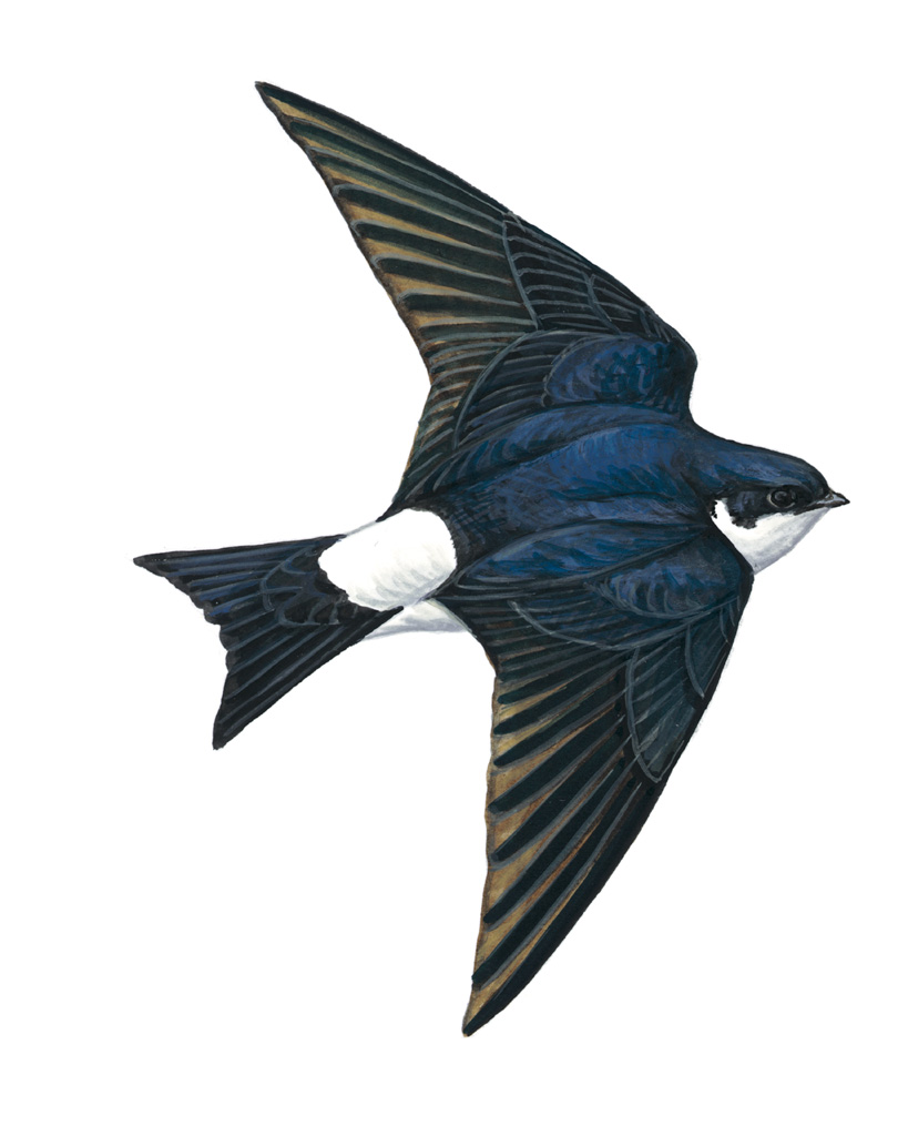 swifts swallows house martins i am a bit clueless rspb in the