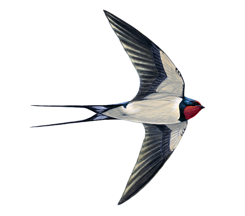 Pictures Of Swallow Birds 27