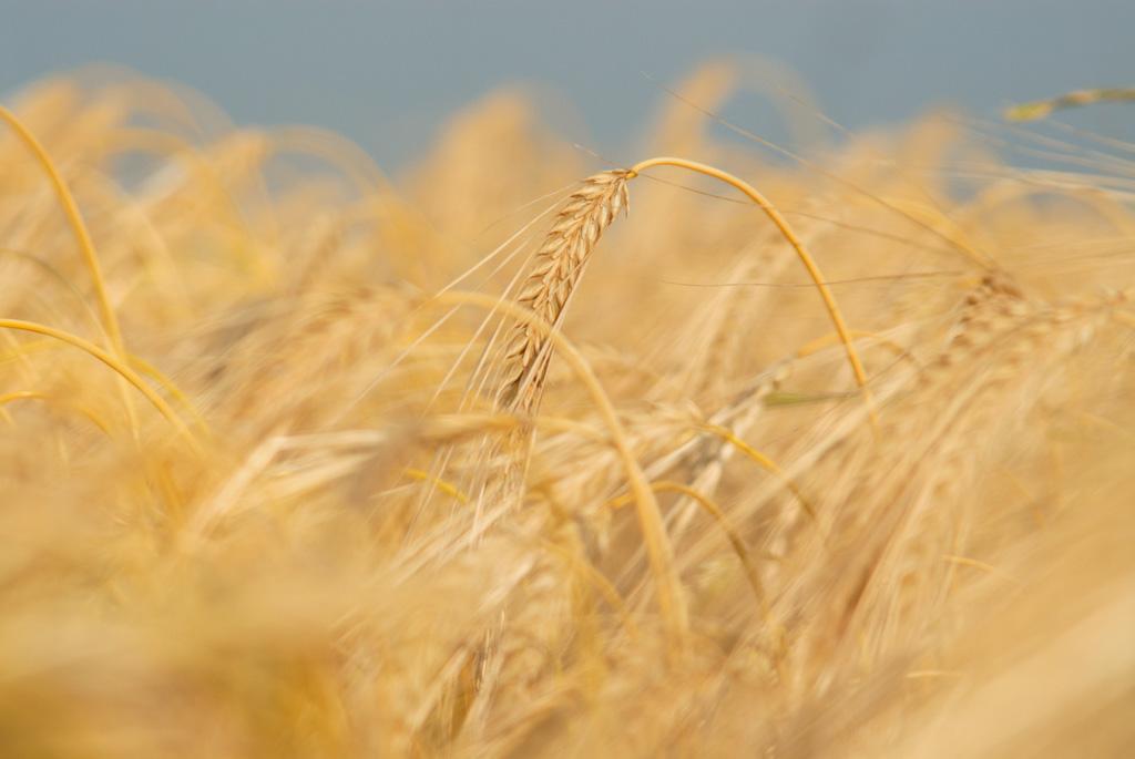 barley fields by nitrok - photo #28