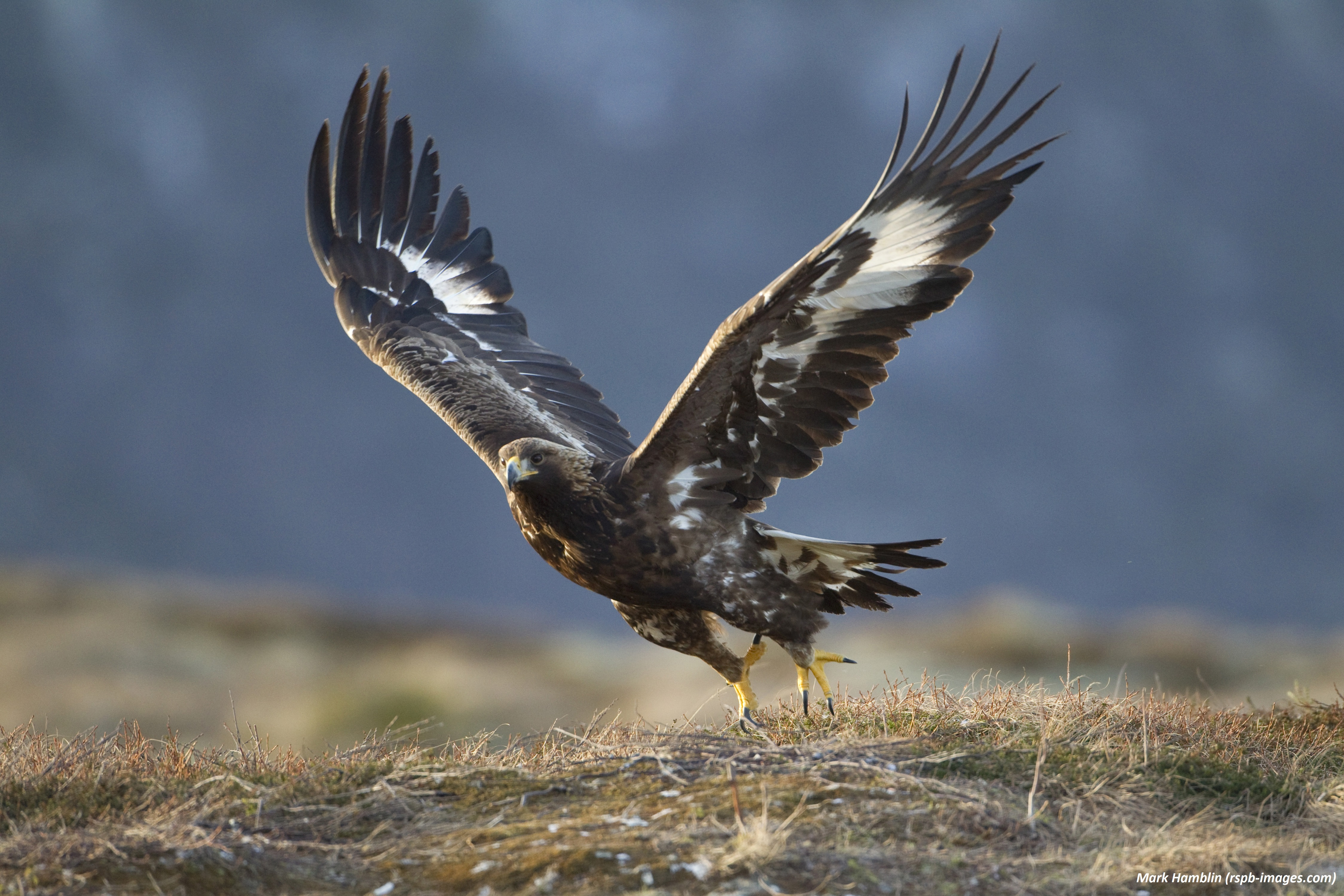 Golden eagle tagging: learning the fate of our raptors - Scottish ...