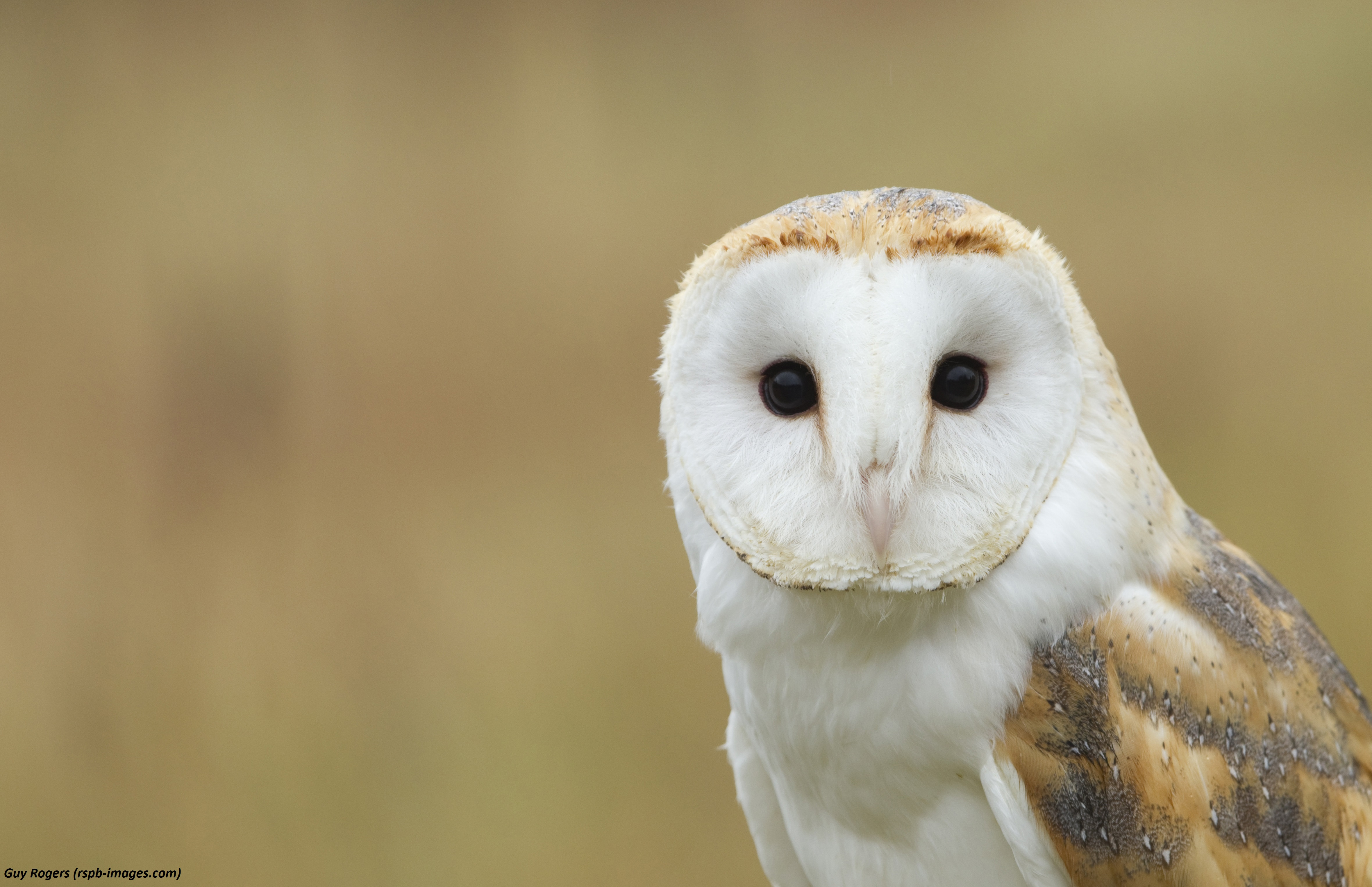 Five facts you need to know about barn owls - Scottish ...