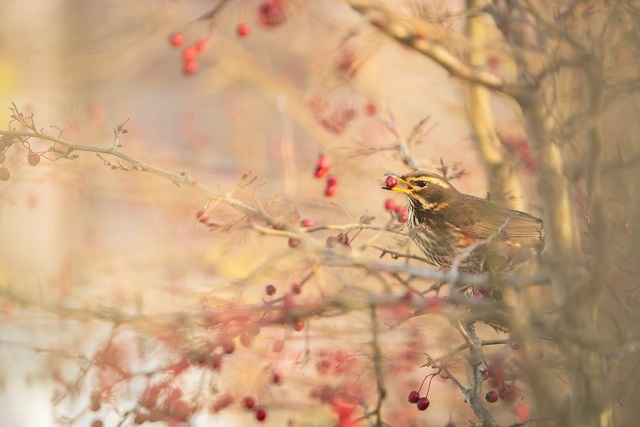 Redwing feeding on hawthorn - Ben Andrew (rspb-images.com)