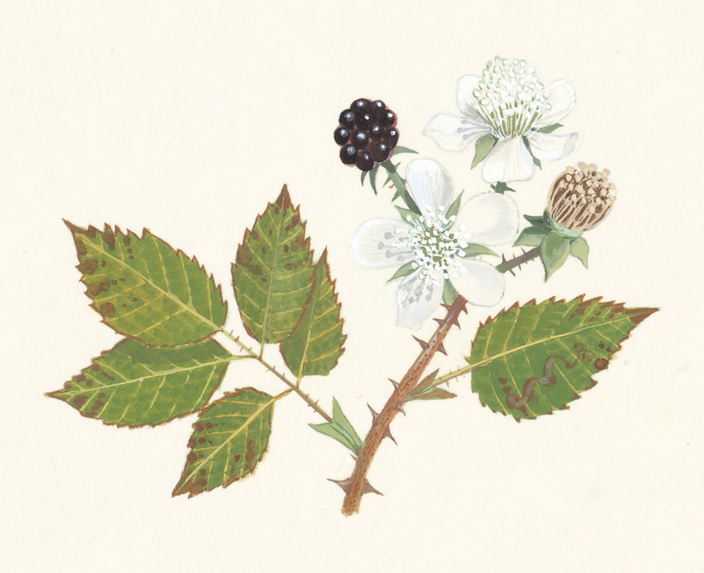 graham calow bramble or blackberry flowers bramble bush bramble ...