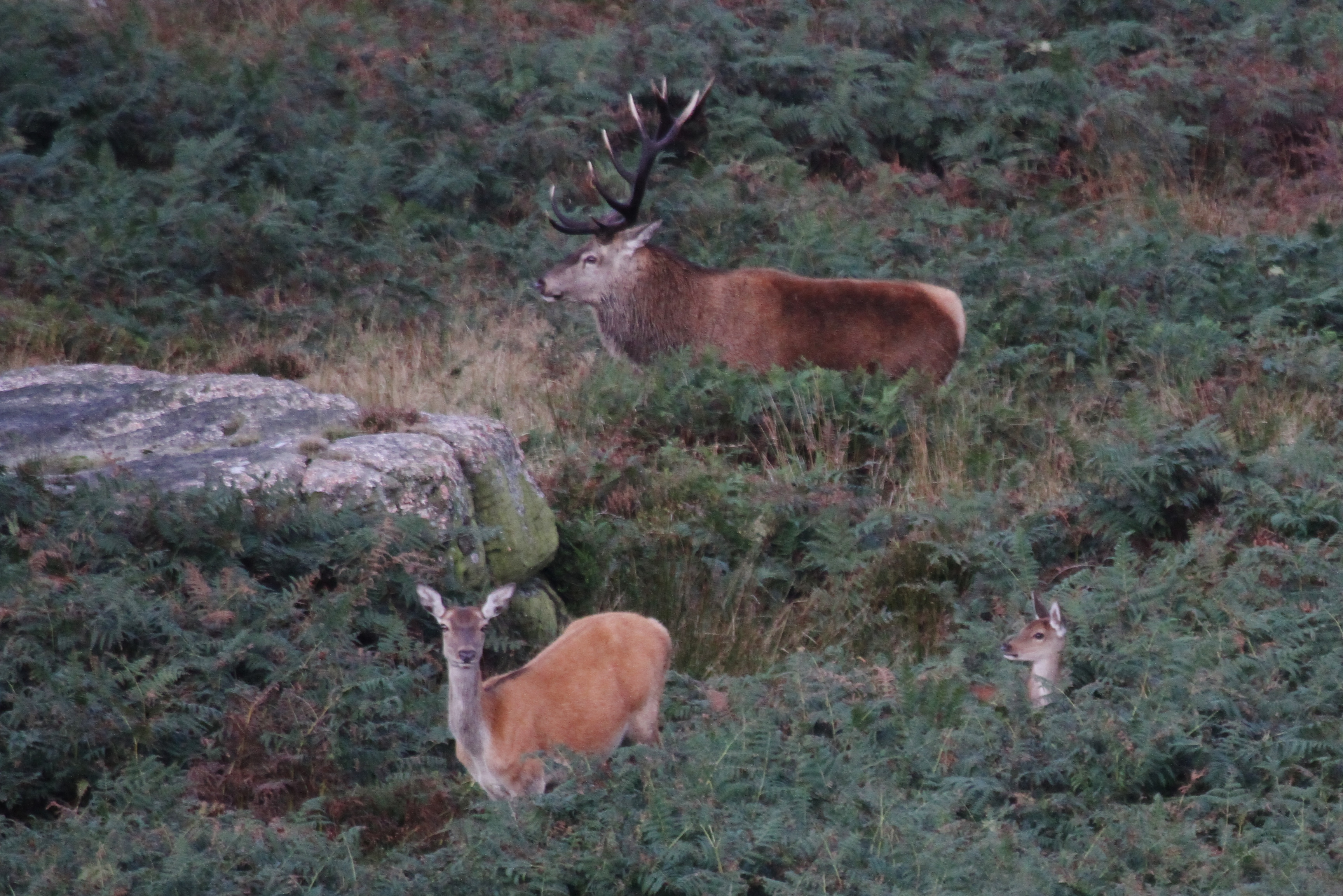 While The Hind And Youngster Moved Off Stag Went To Have A Lay Down He Was Still In Bracken 3 Hours Later Lol
