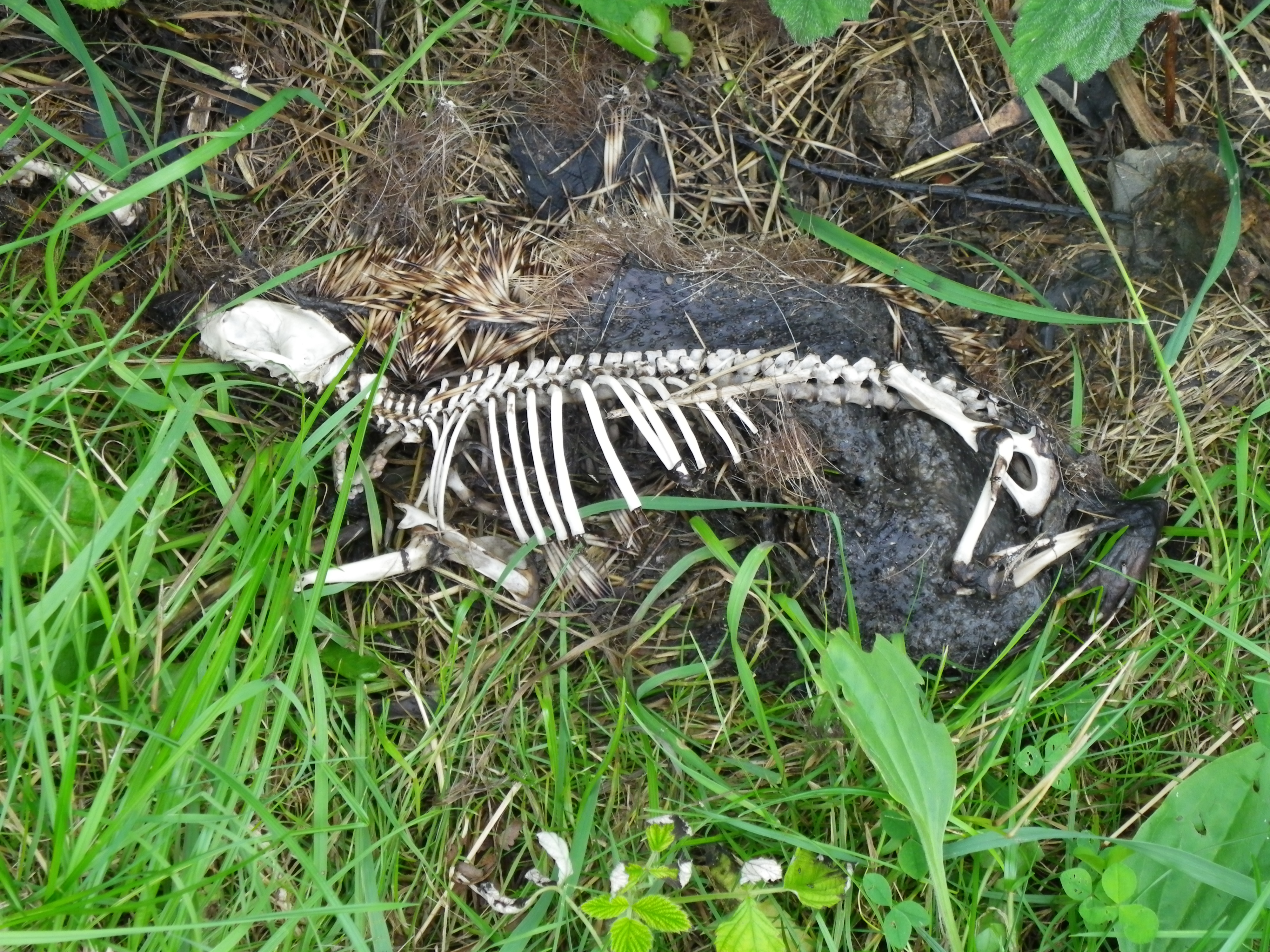 A Picture Of A Dead Hedgehog With Its Skeleton Structure