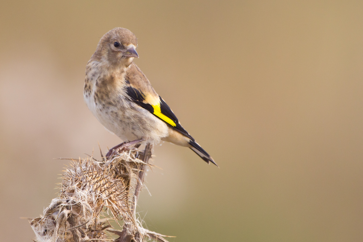 Baby Goldfinches - All creatures.... - Wildlife - The RSPB ...
