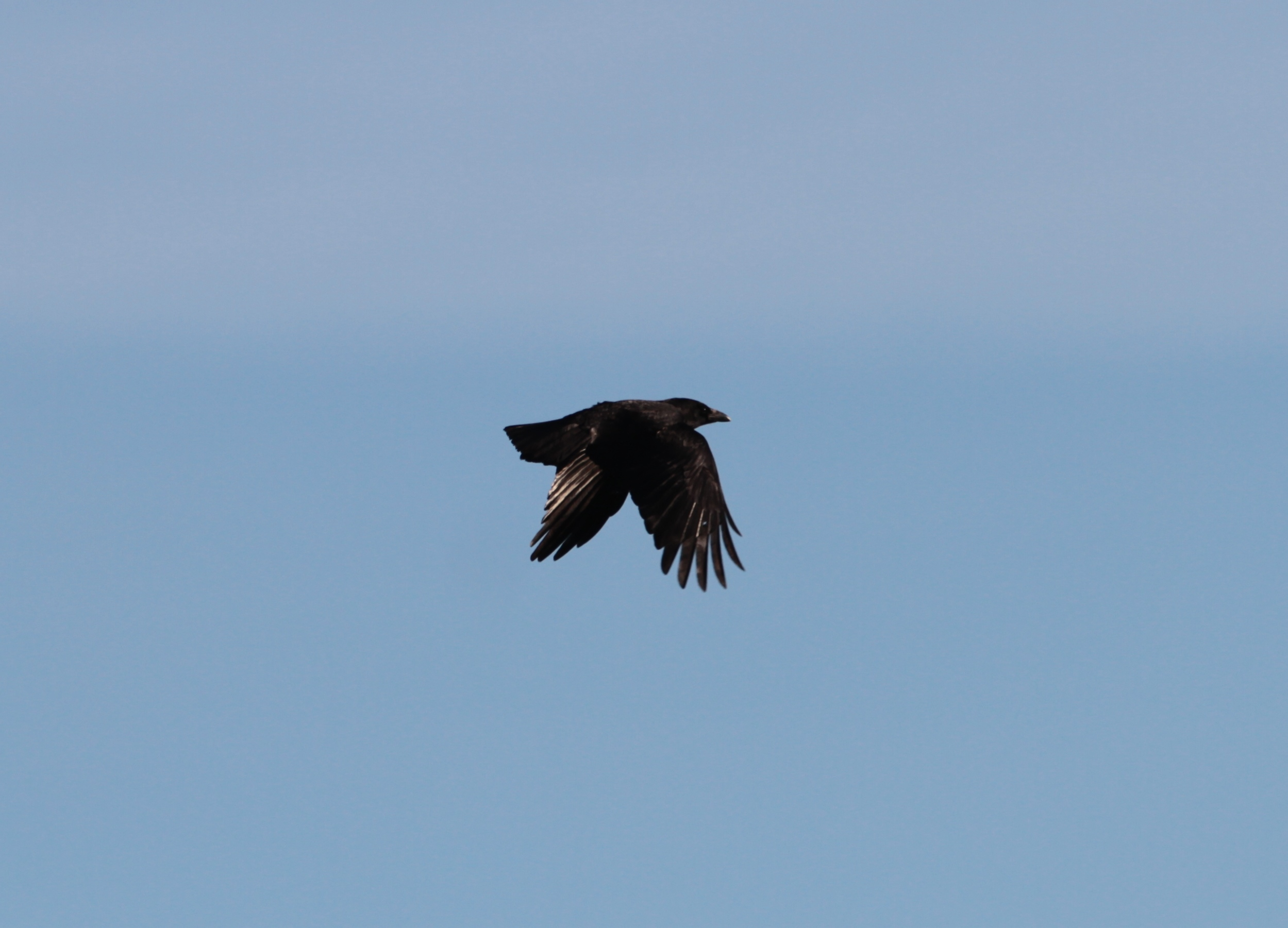 Crow Flying Upside Down