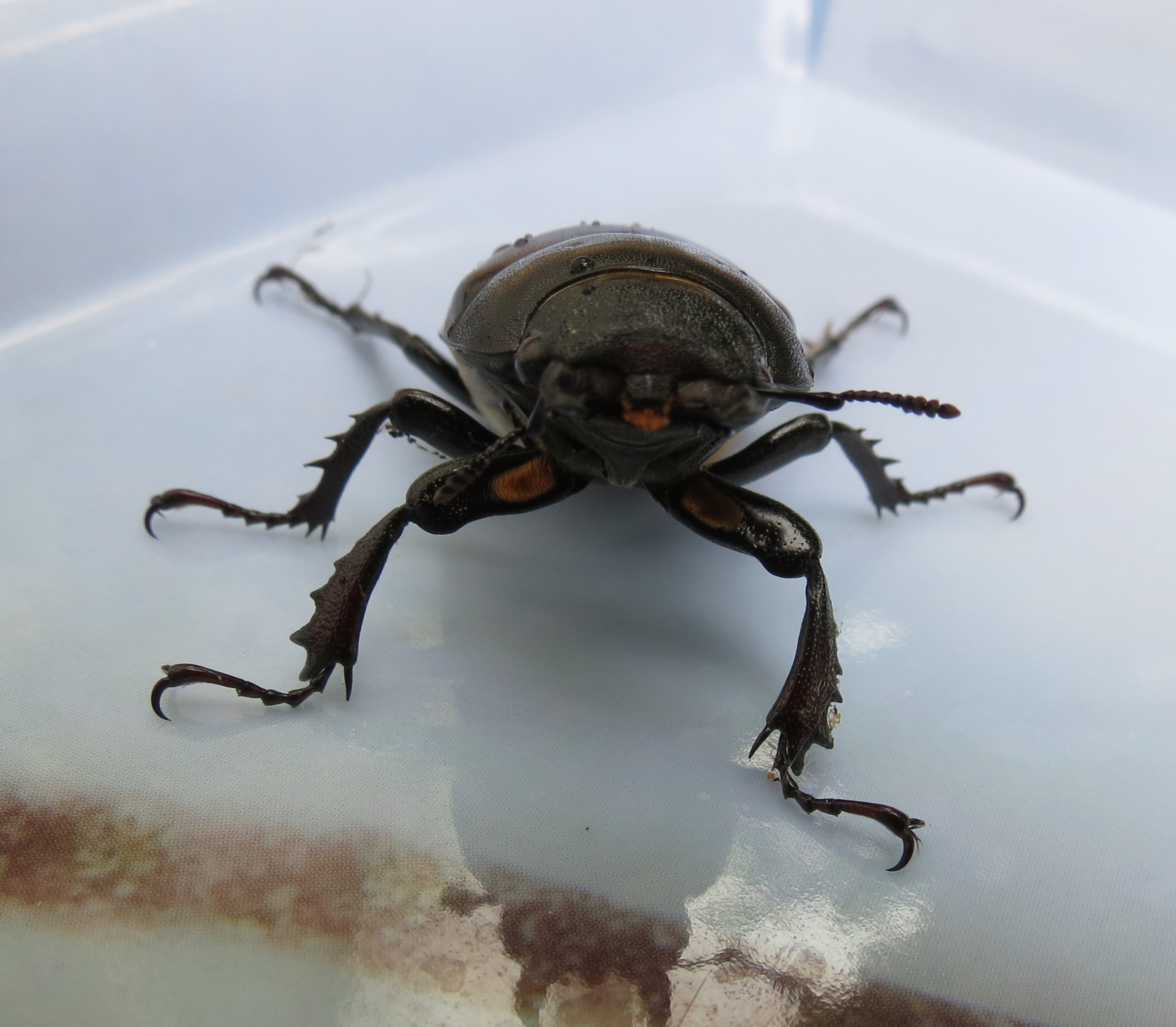 Lesser Stag Beetle - All creatures.... - Wildlife - The ...