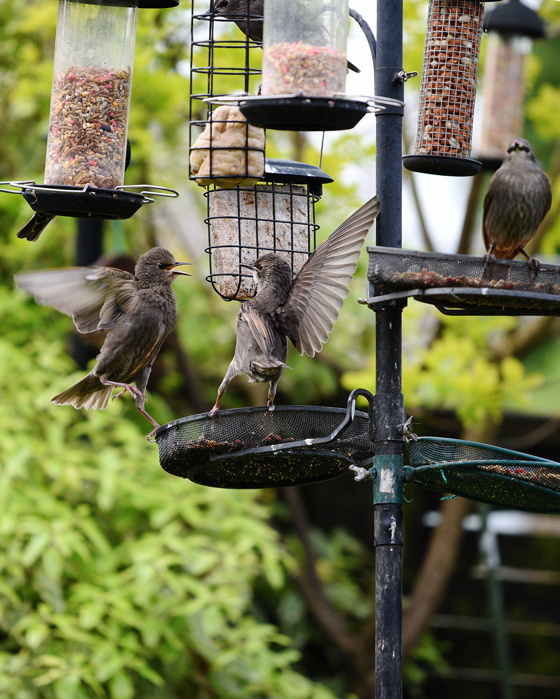 Starling Action - All creatures     - Wildlife - The RSPB Community