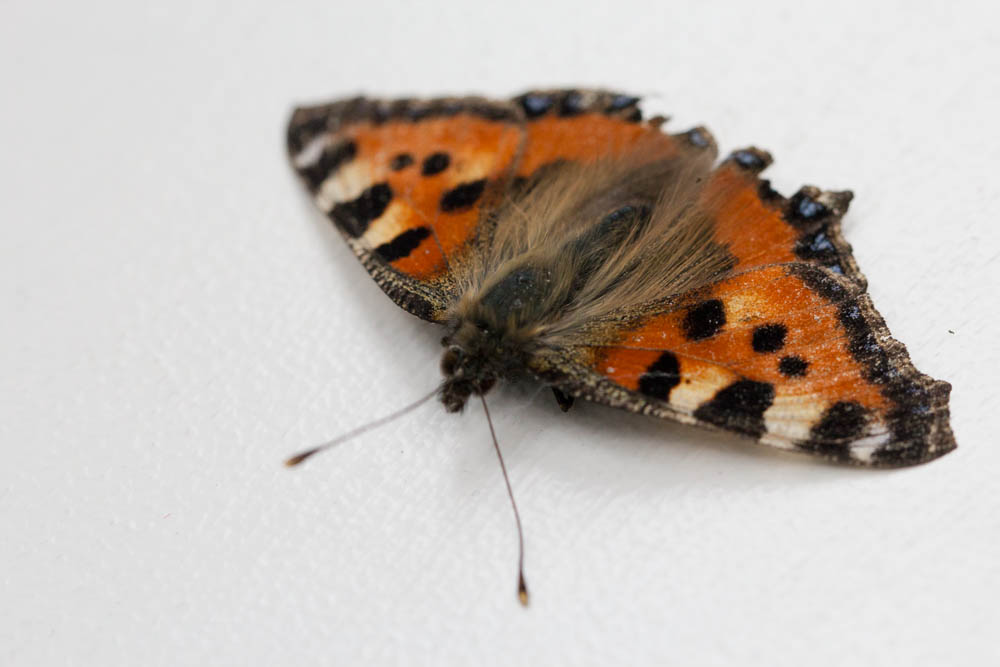 Small Tortoiseshell butterfly - All creatures     - Wildlife