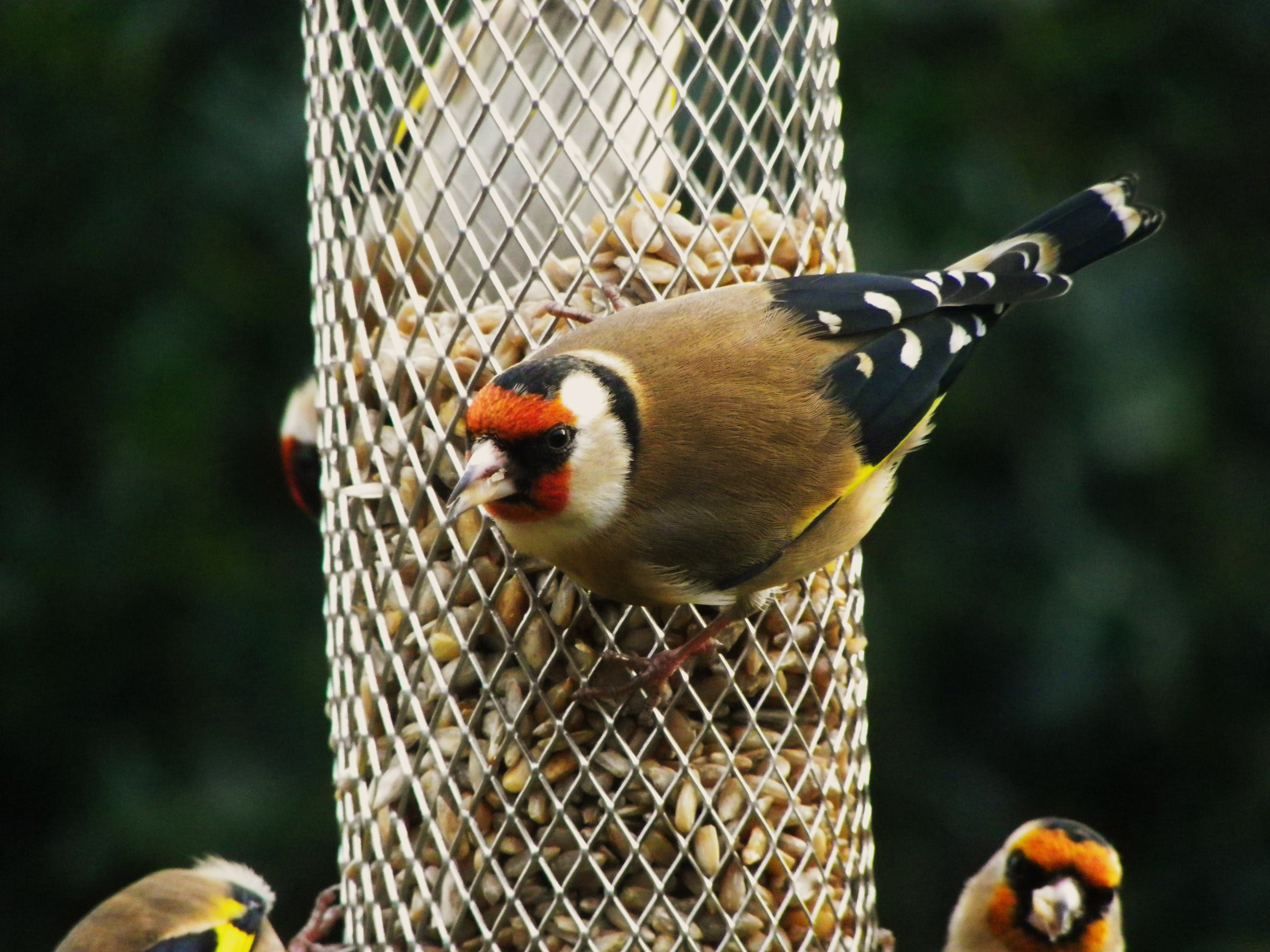 Common garden birds are beautiful birds feeding garden for Bebederos para aves jardin