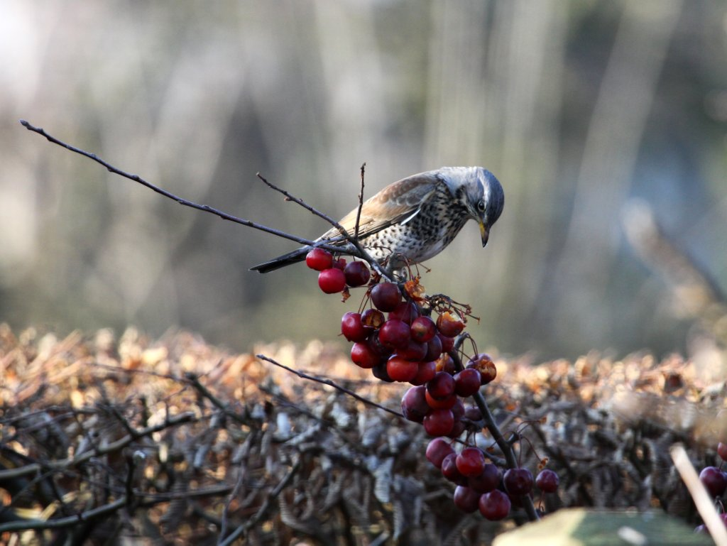 crab apples which is best for birds feeding garden visitors