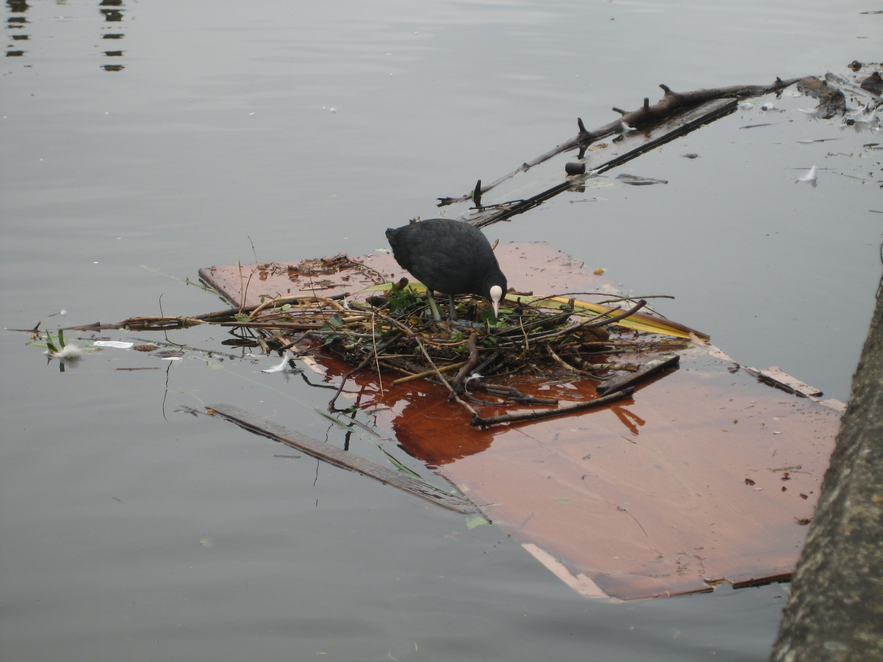... a nest on an old boat cabin door which was floating downstream. It didnu0027t last - Turku0027s boatmen took the door out of the water before it did any damage. & Birds on the Thames at Kingston - Where to watch wildlife - Wildlife ...