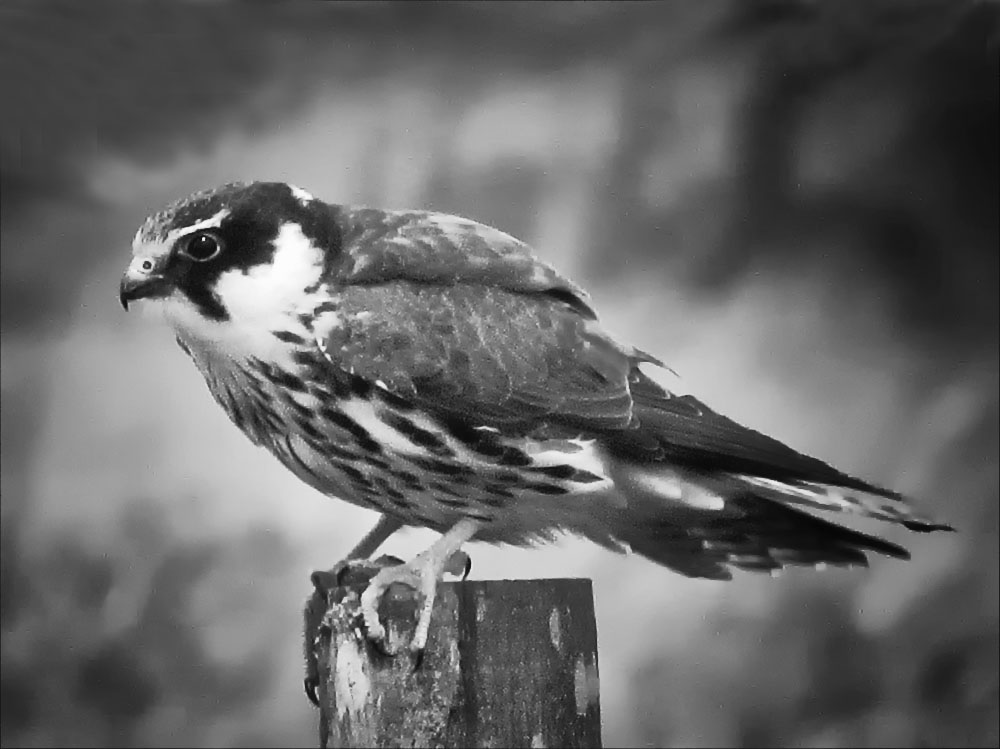Black And White Photography Birds