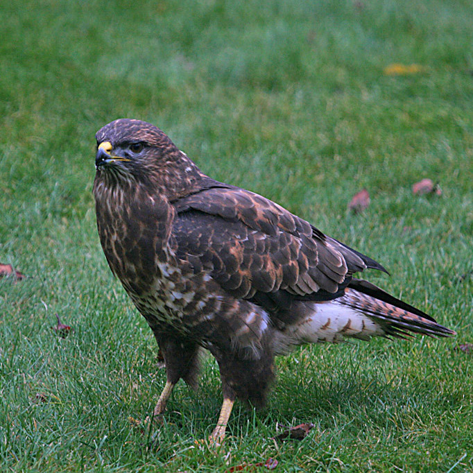 Large Bird Of Prey In Kent The Tea Rooms Chat The