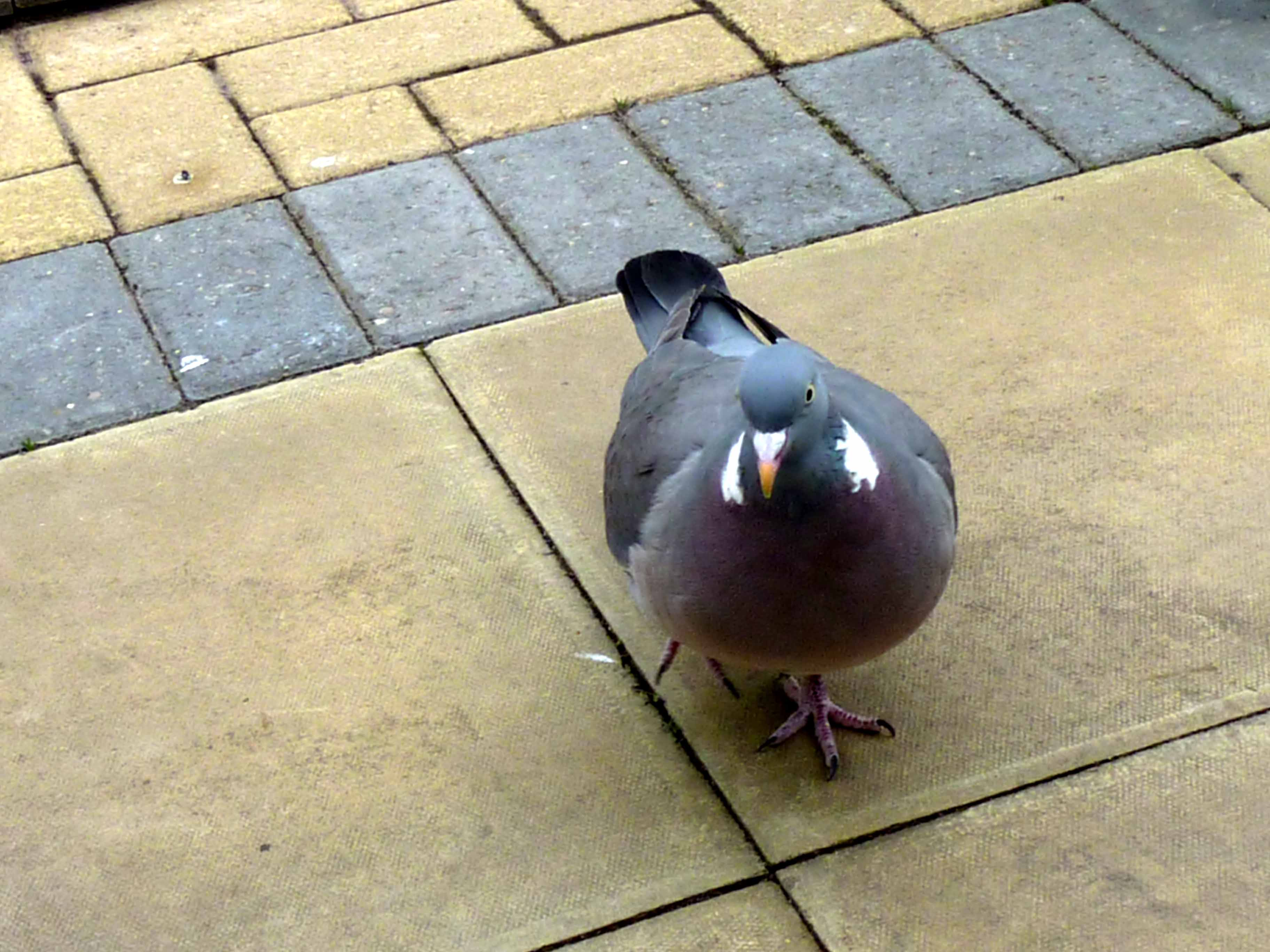 pigeon chat rooms /configure: configure a chat room /debug : send various debug  information to the current conversation /help : help on a specific  command.